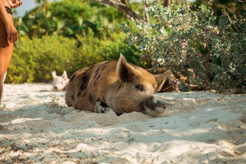 brown pig lying on sand