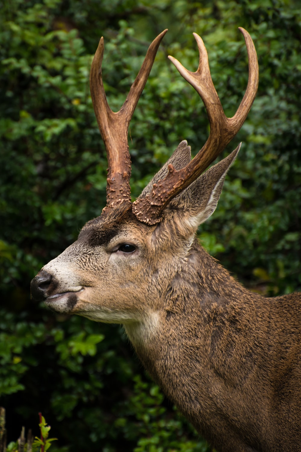 closeup photo of brown deer in forest