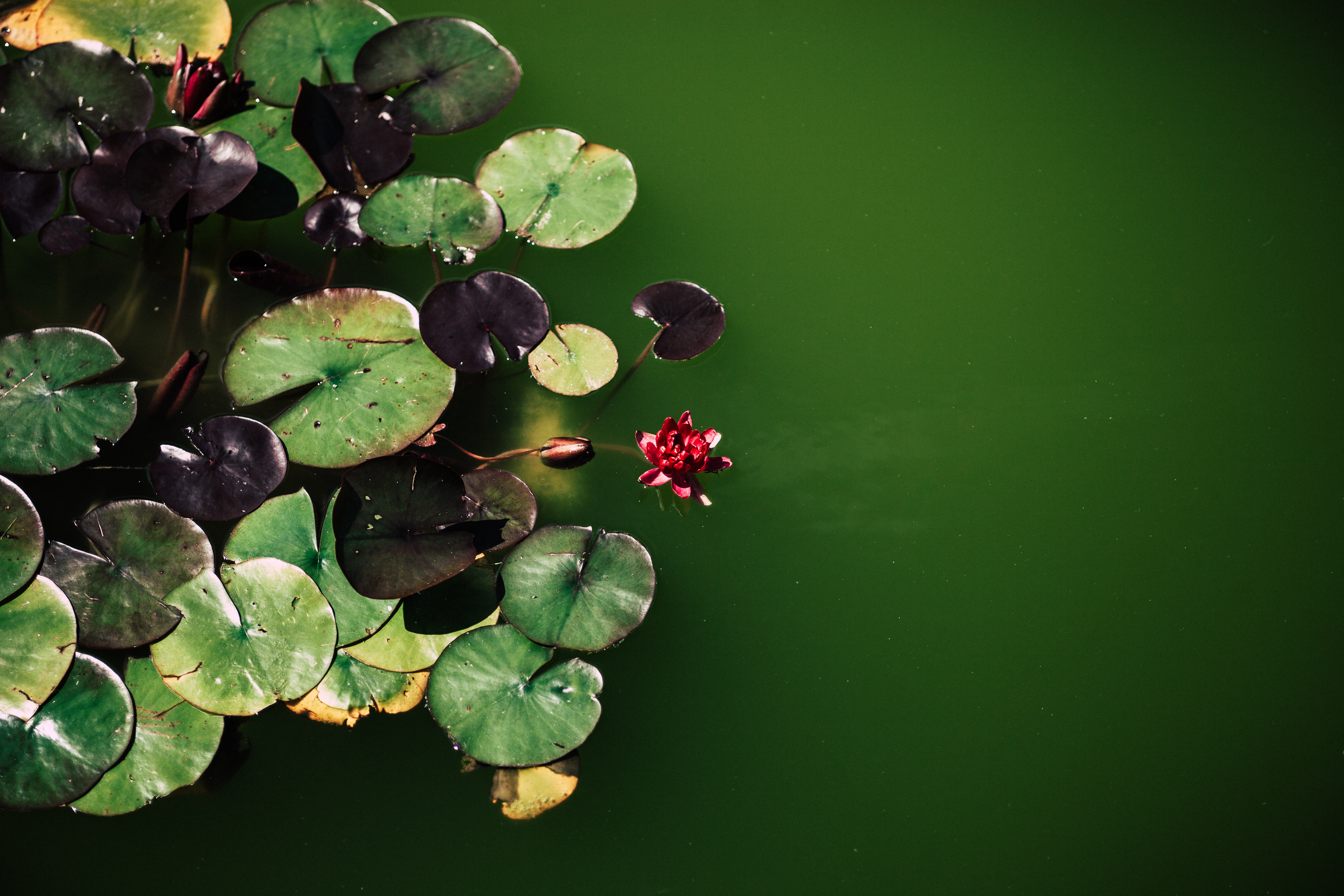 Green and purple lily pads float in calm green water