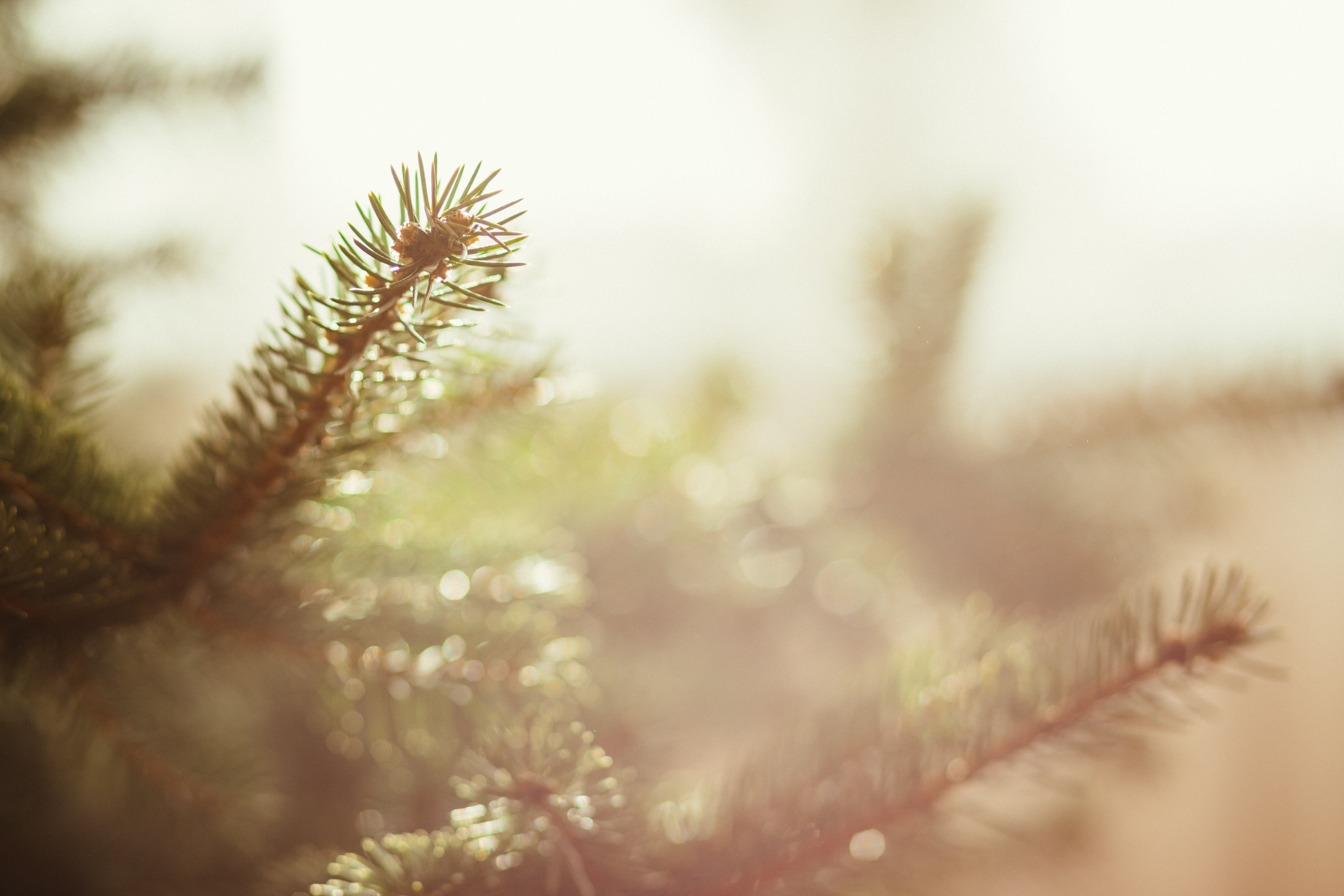 A macro shot of pine tree branches.