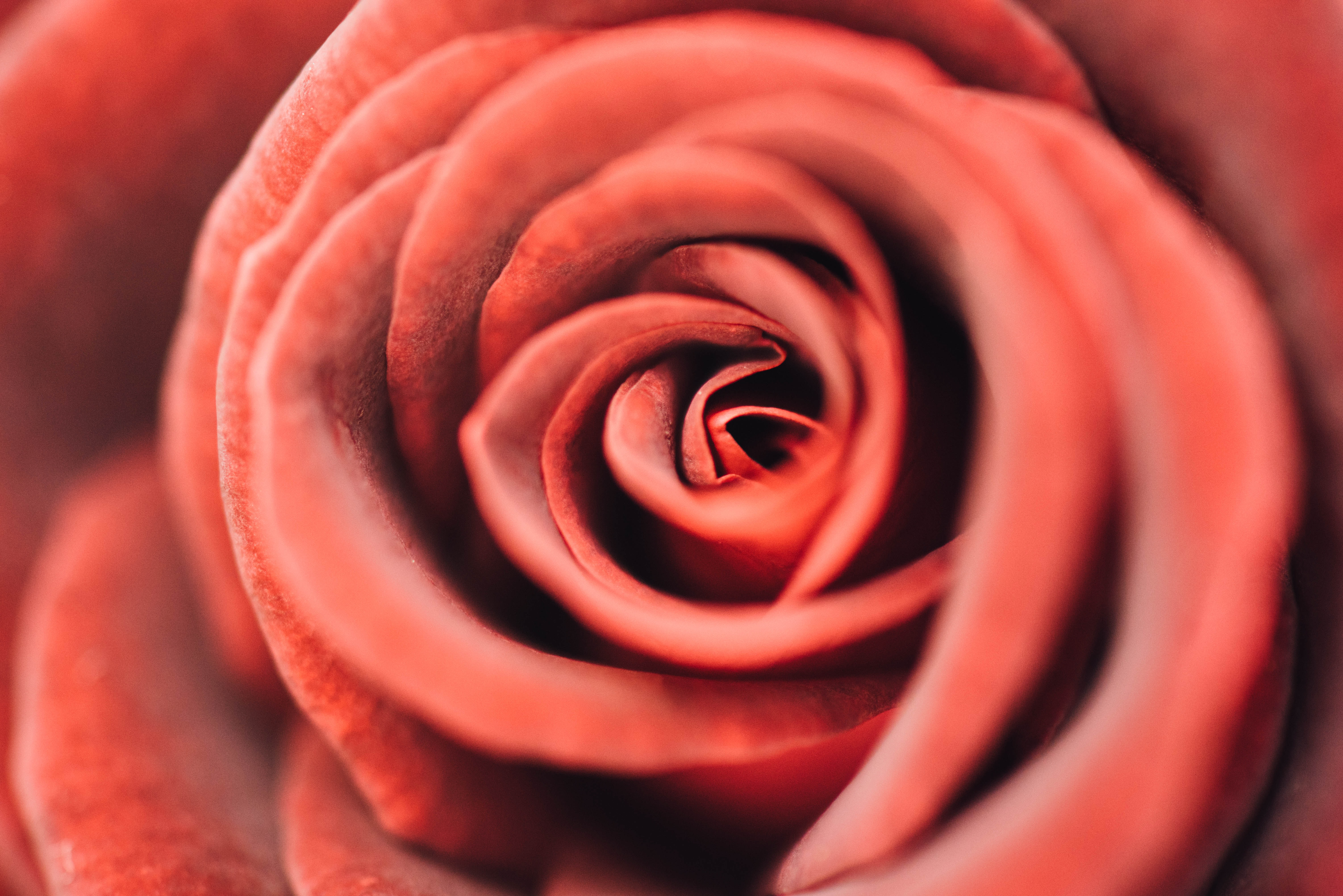 A macro shot of the center of a red rose