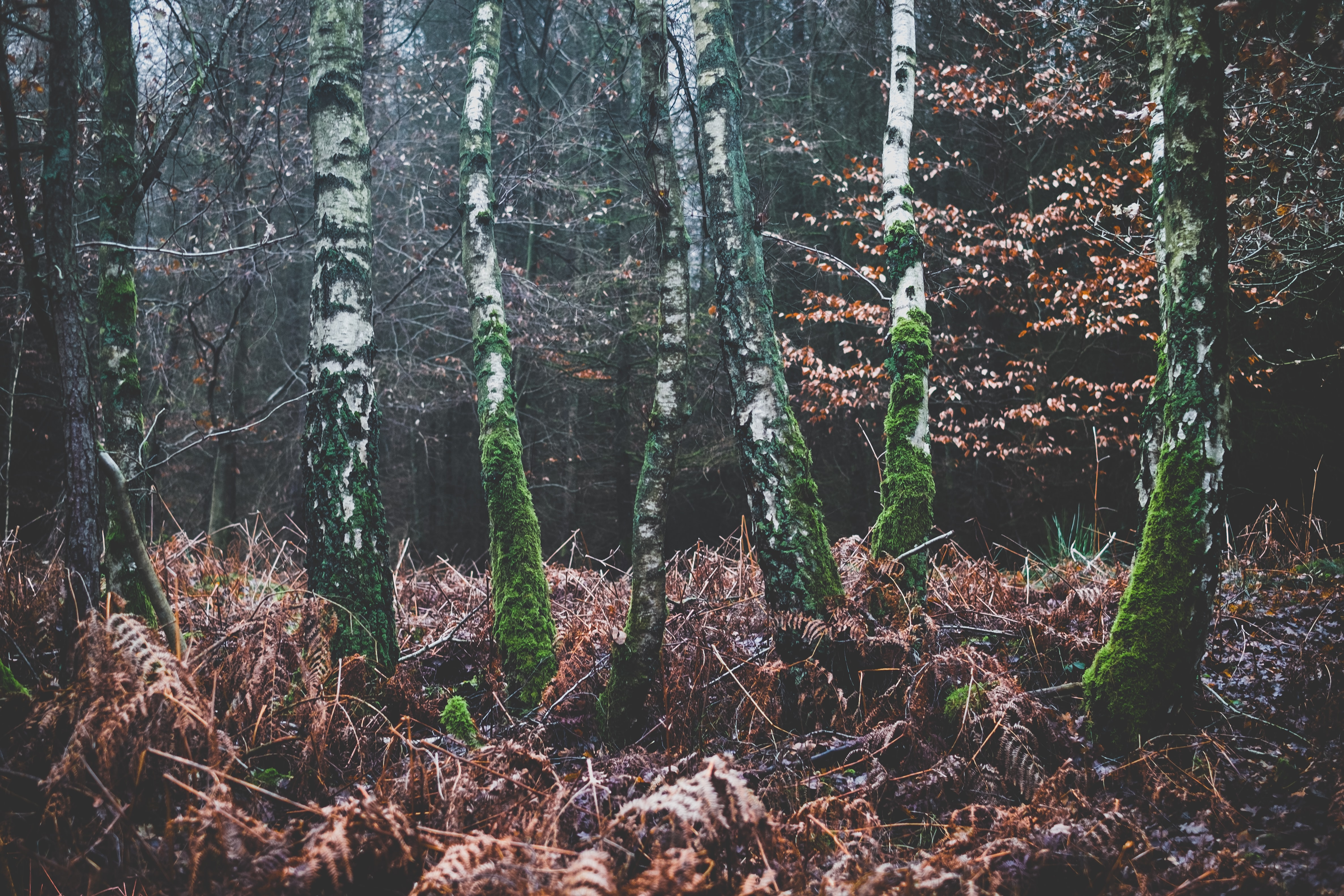 Moss-covered birch trees in a forest during autumn