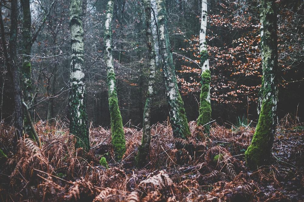 green bark trees