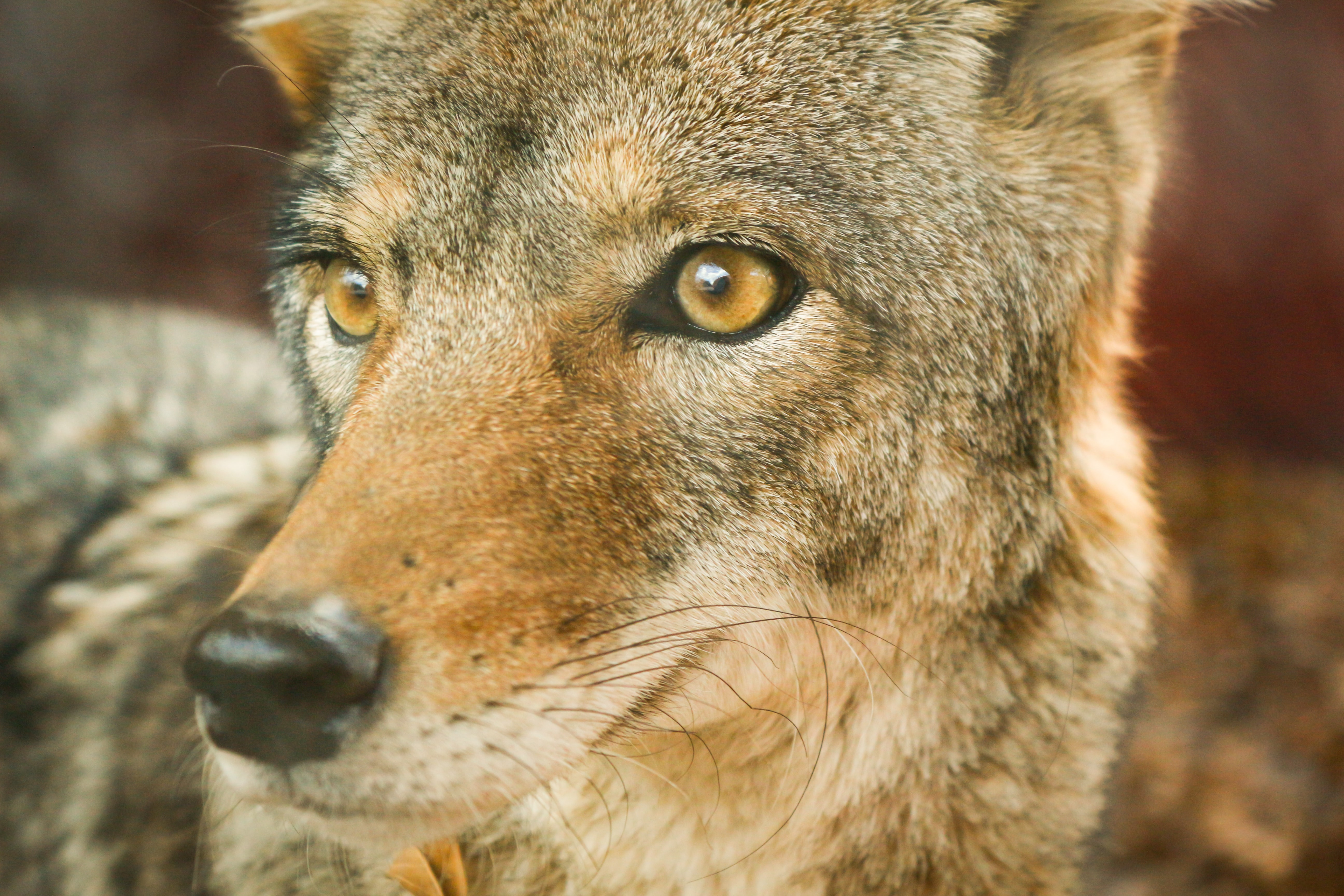 The macro view of the eyes and mouth of a timber wolf in Museo del Desierto