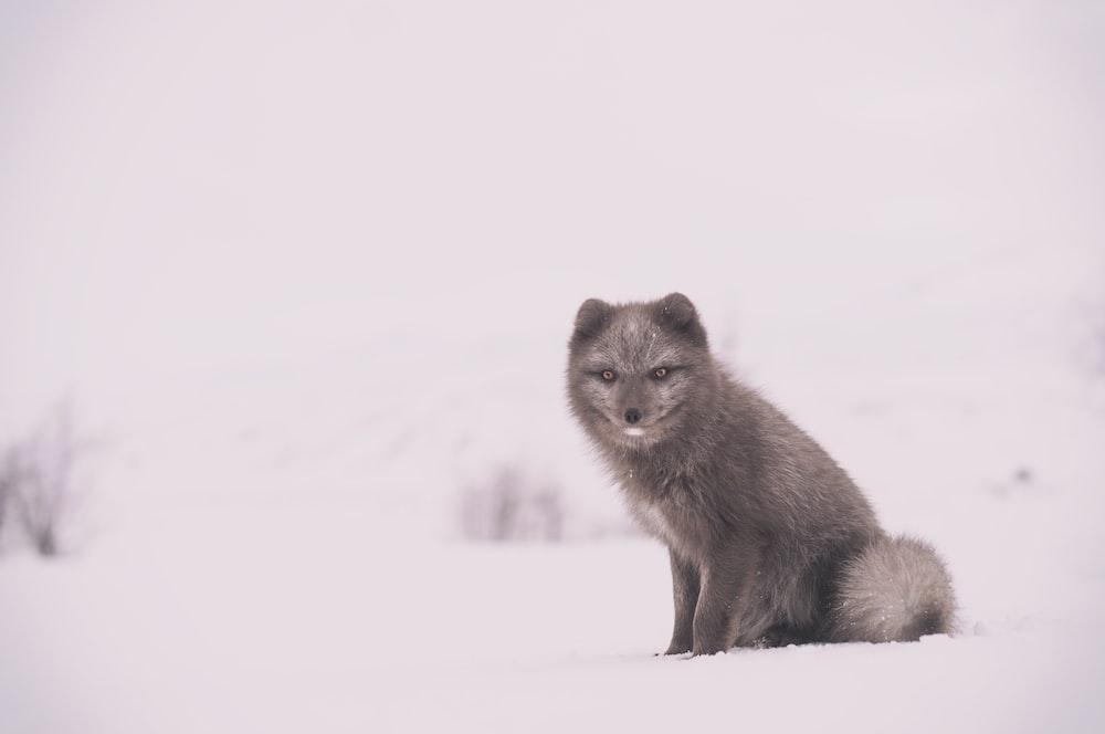 gray fox on white snow