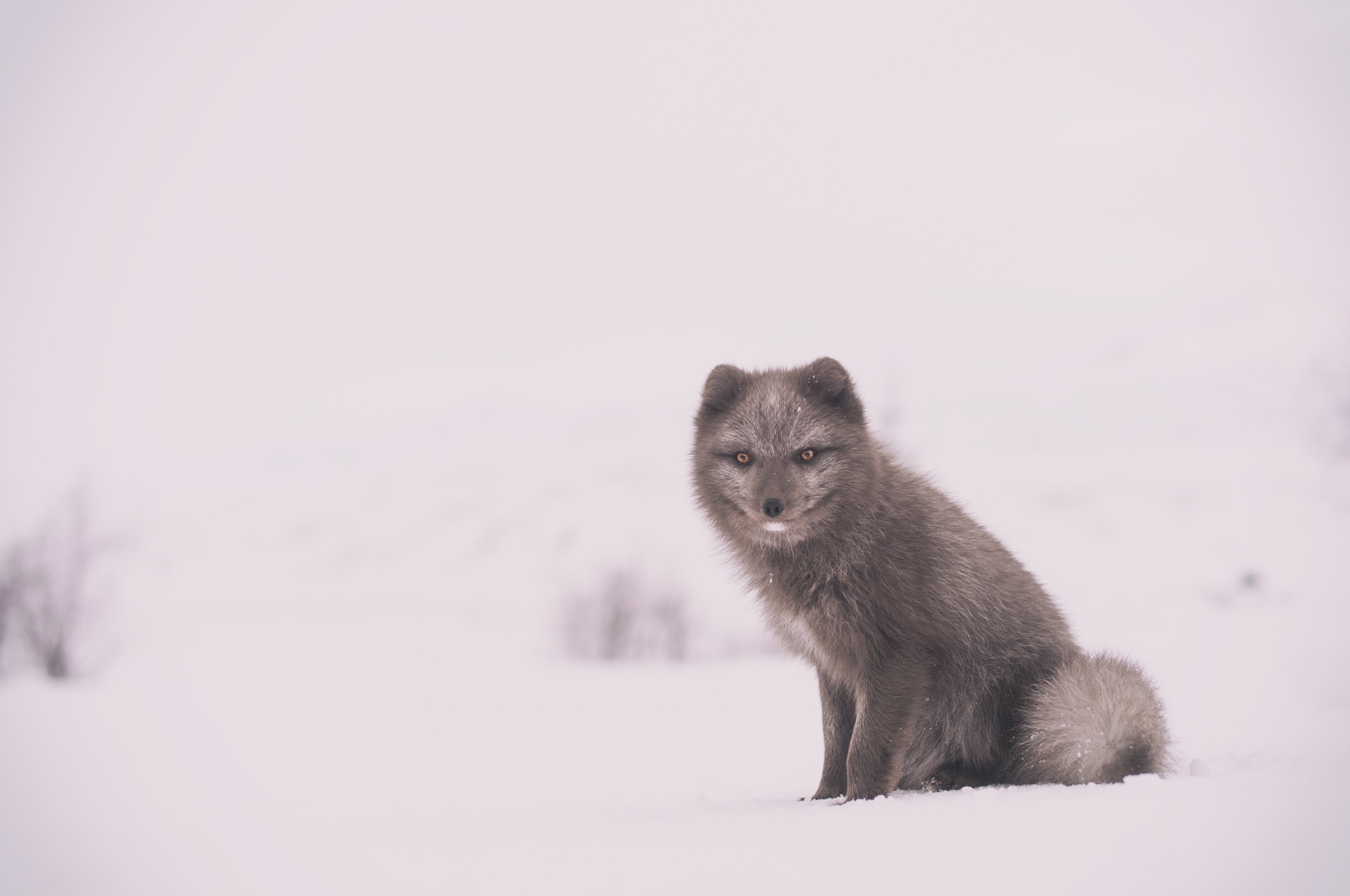 Arctic fox with enlarged orange eyes surrounded by a completely snowed out landscape