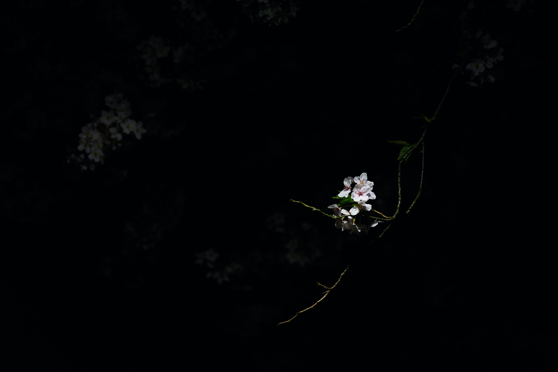 Pink cherry blossom flower in dark in the Spring, Honancho