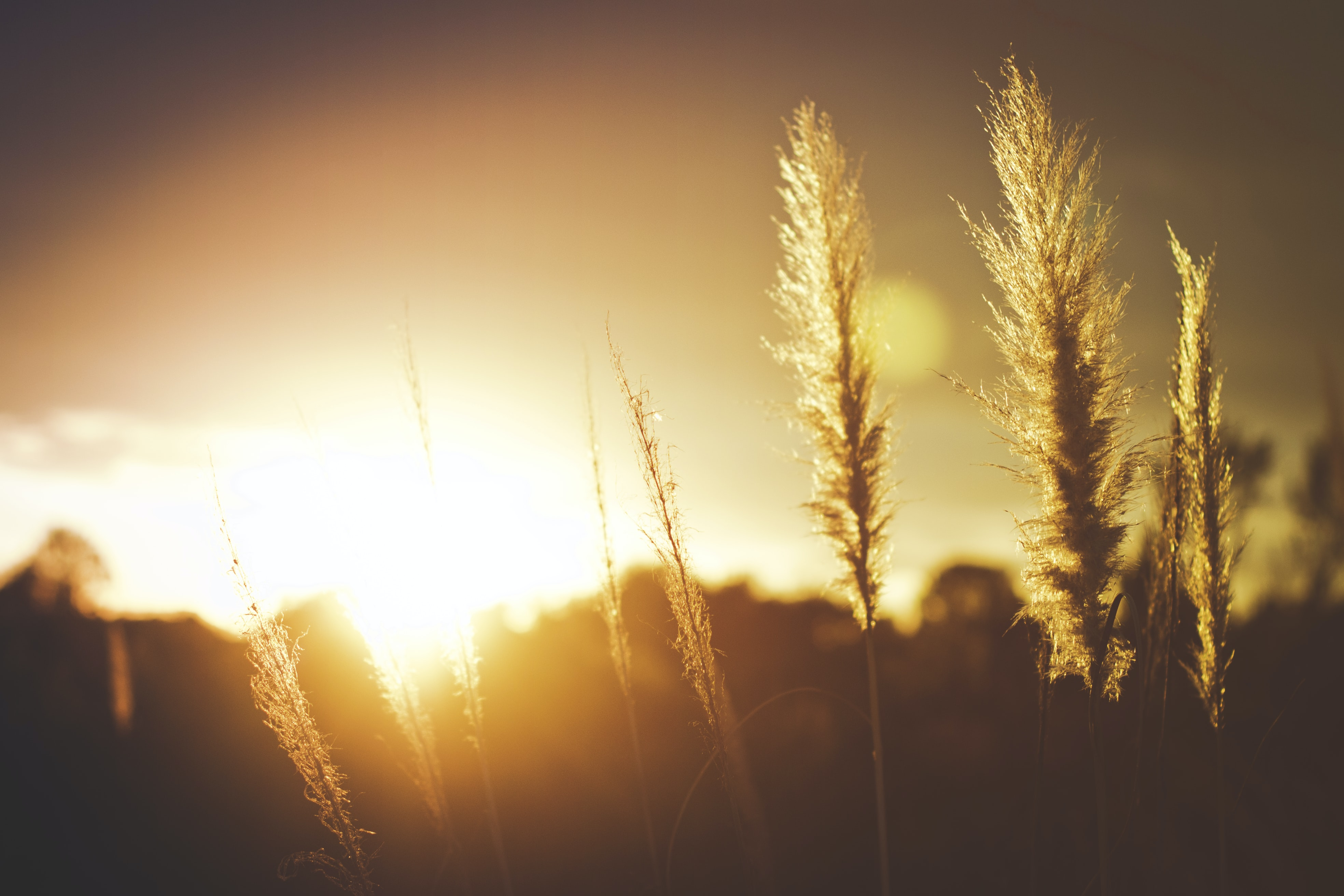 A wheat field with a sun flare during golden hour in Vandenberg Village