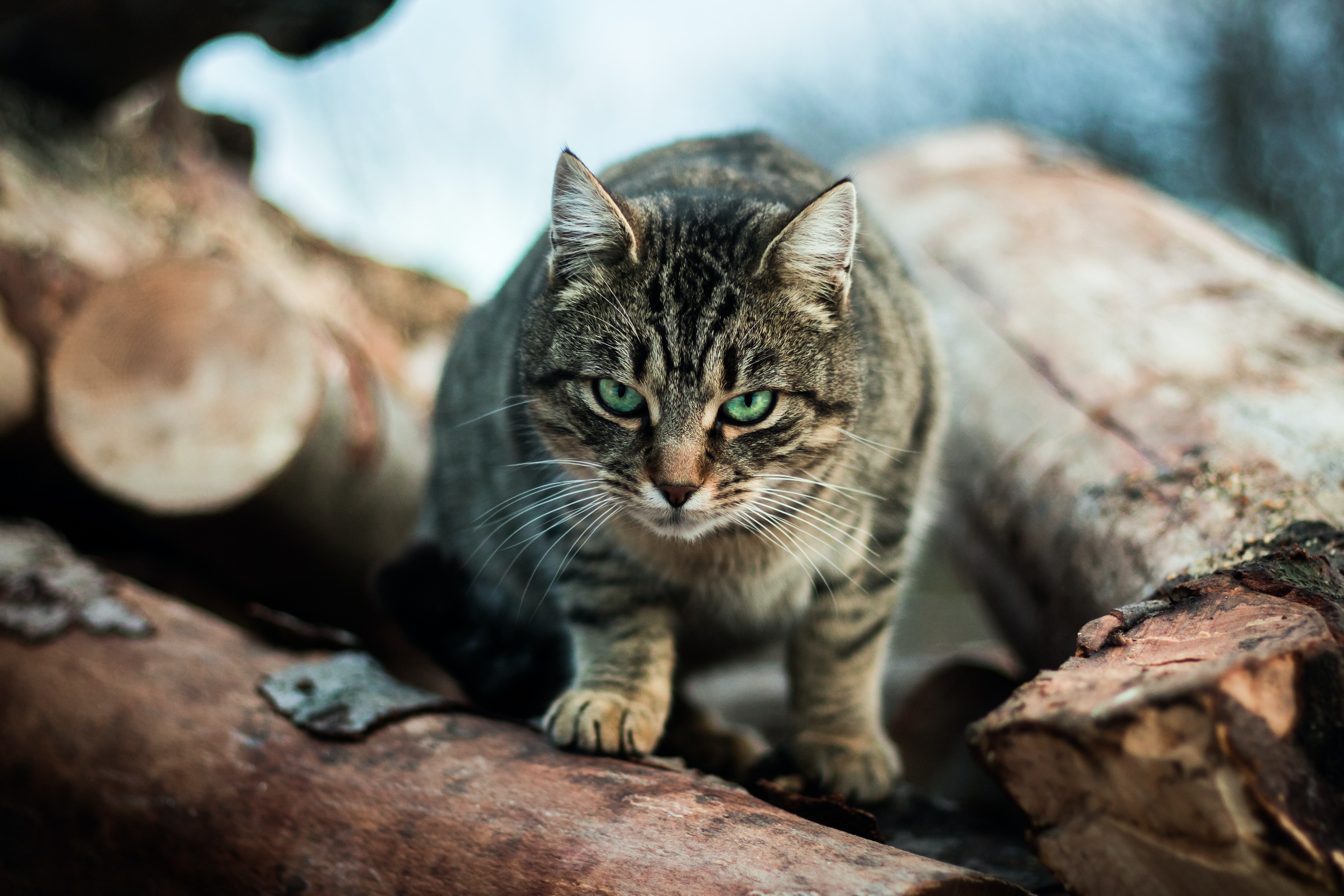 A green-eyed tabby on wood logs creeping towards the camera