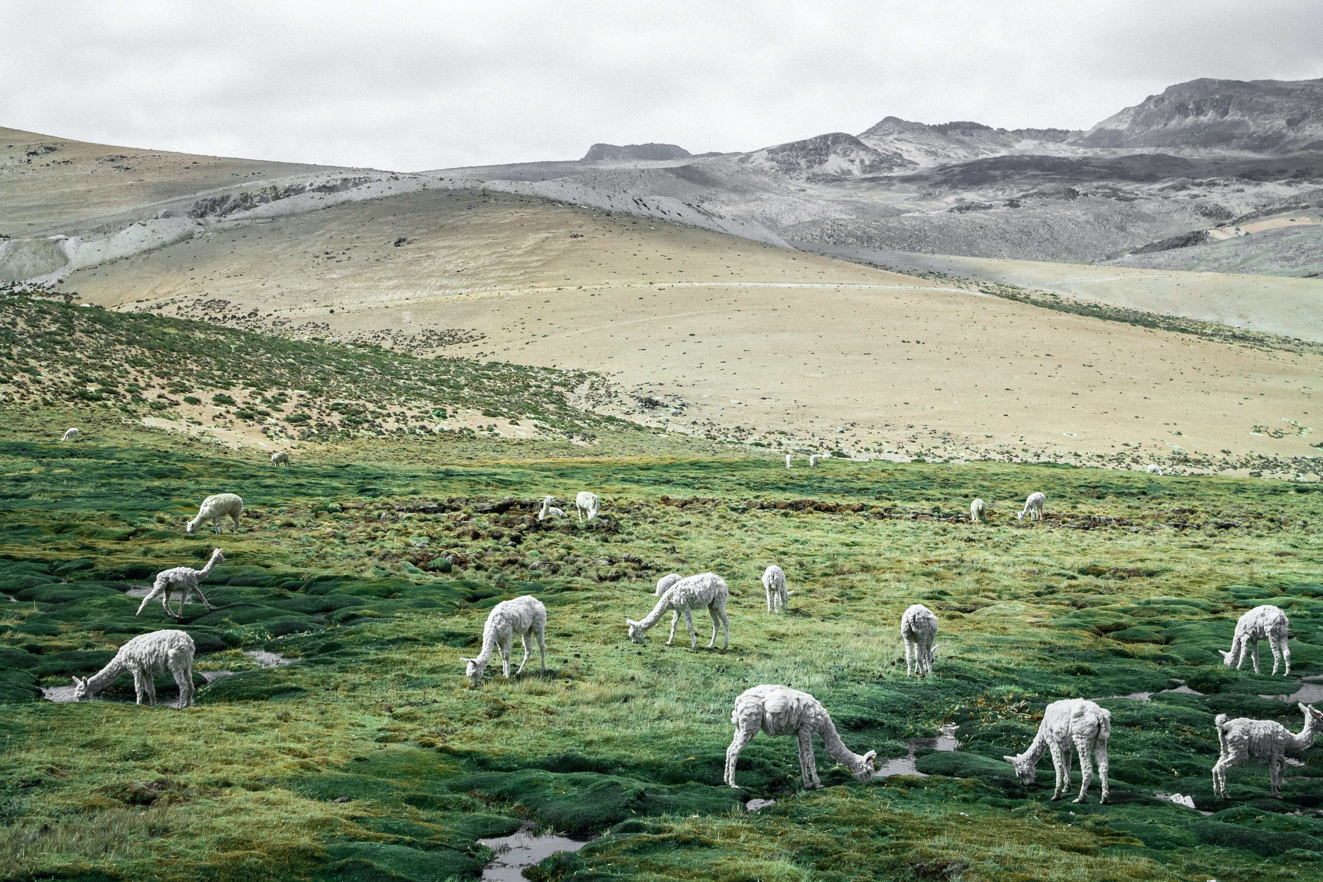 herd of sheep on green field