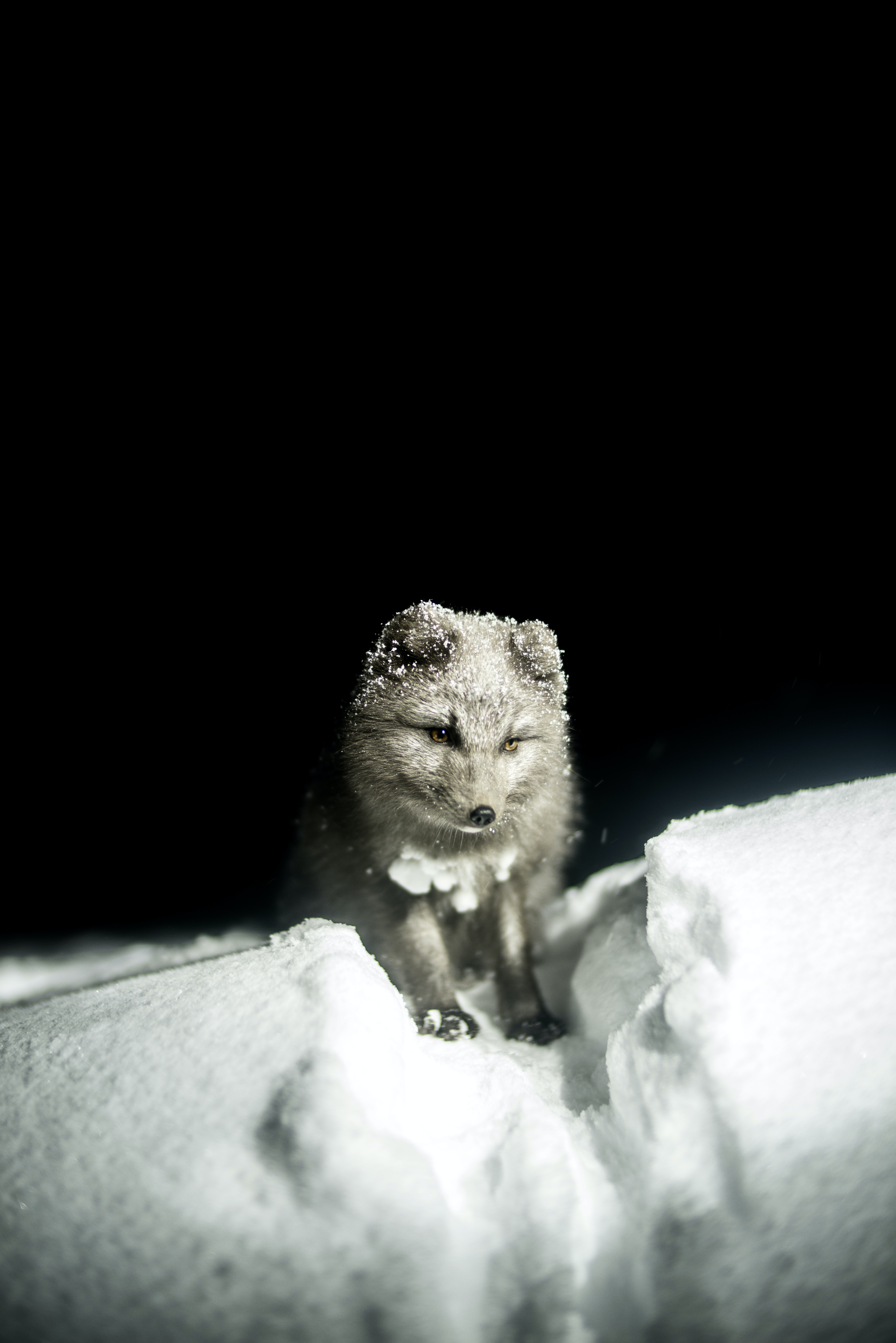 Arctic fox standing with white fur in the snow with a dark background