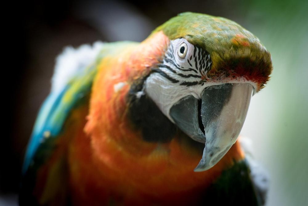 shallow focus photography of orange parrot