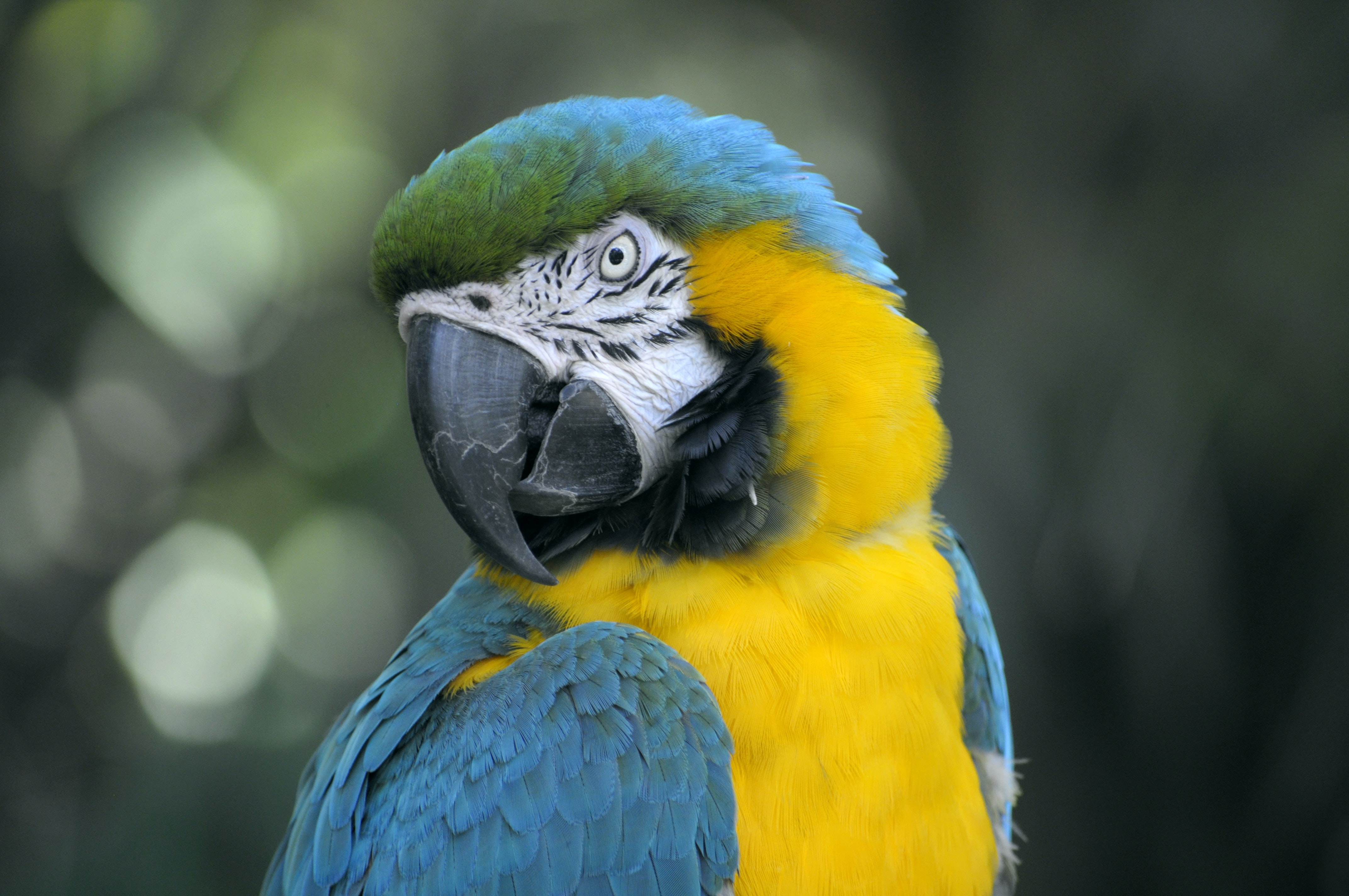 Macro of a parrot with vibrant blue,yellow and green colors cocking its head to the side