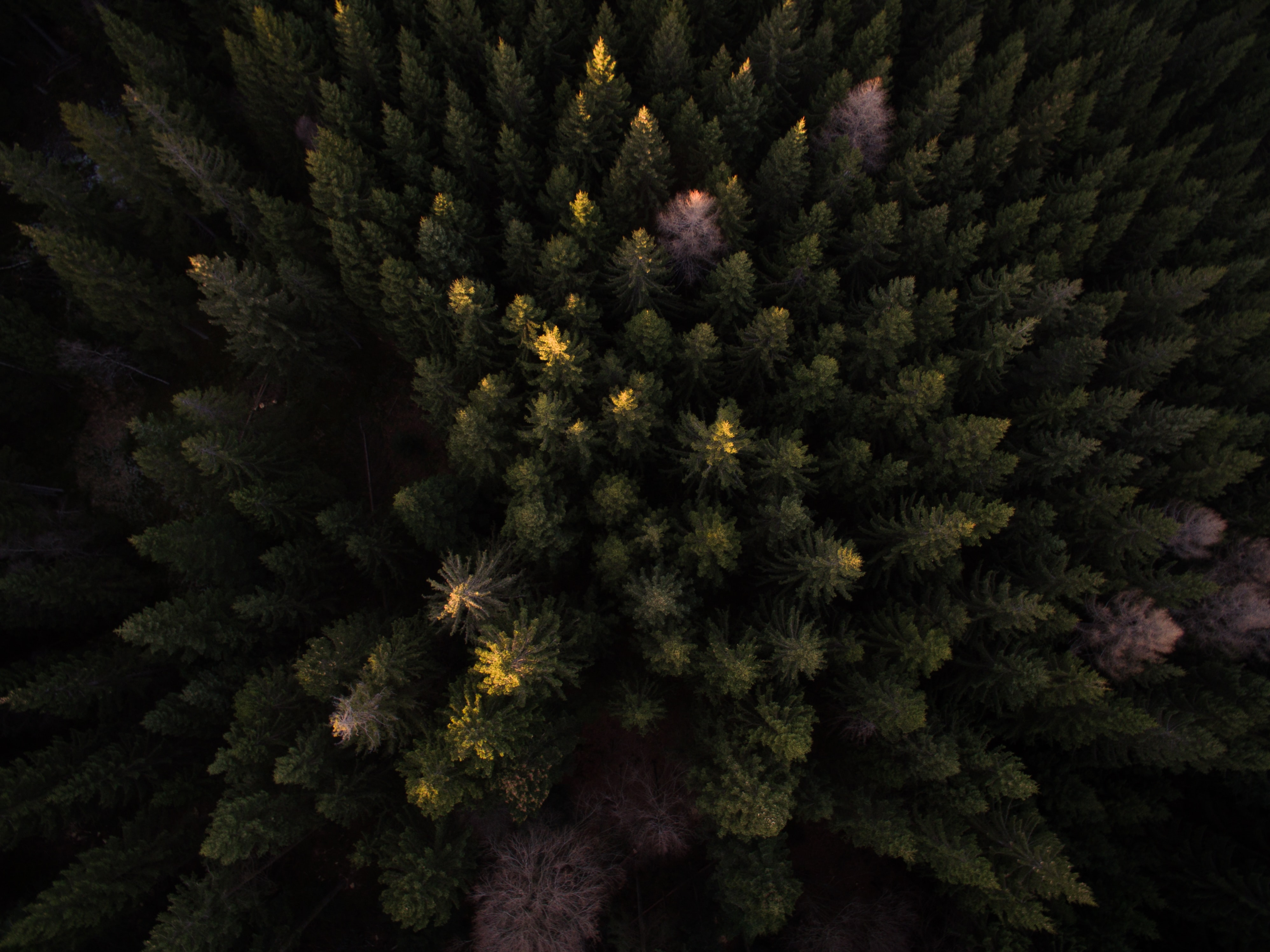 A drone shot of an evergreen forest with several dead trees
