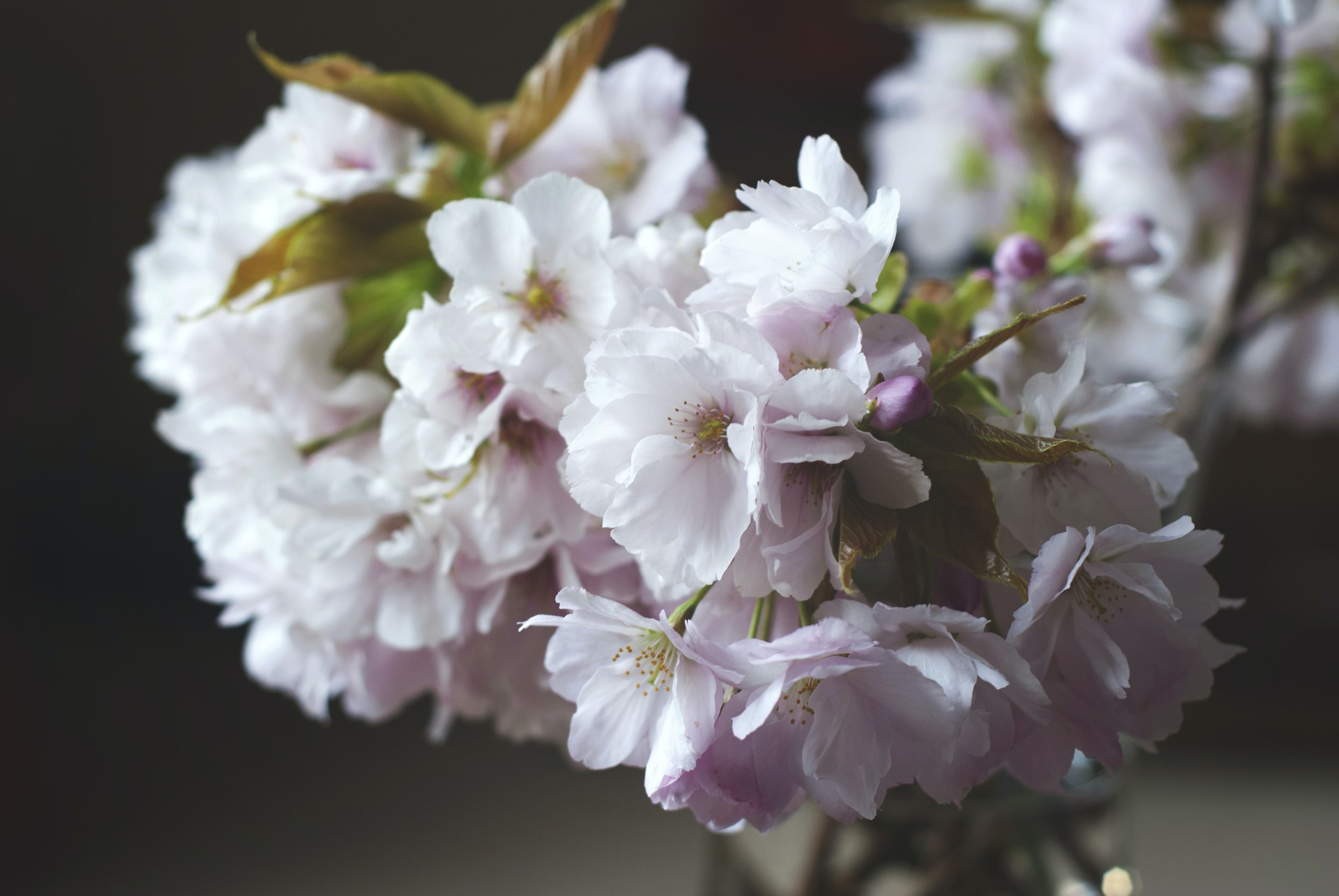 Close up of cherry tree floral blossom in Spring