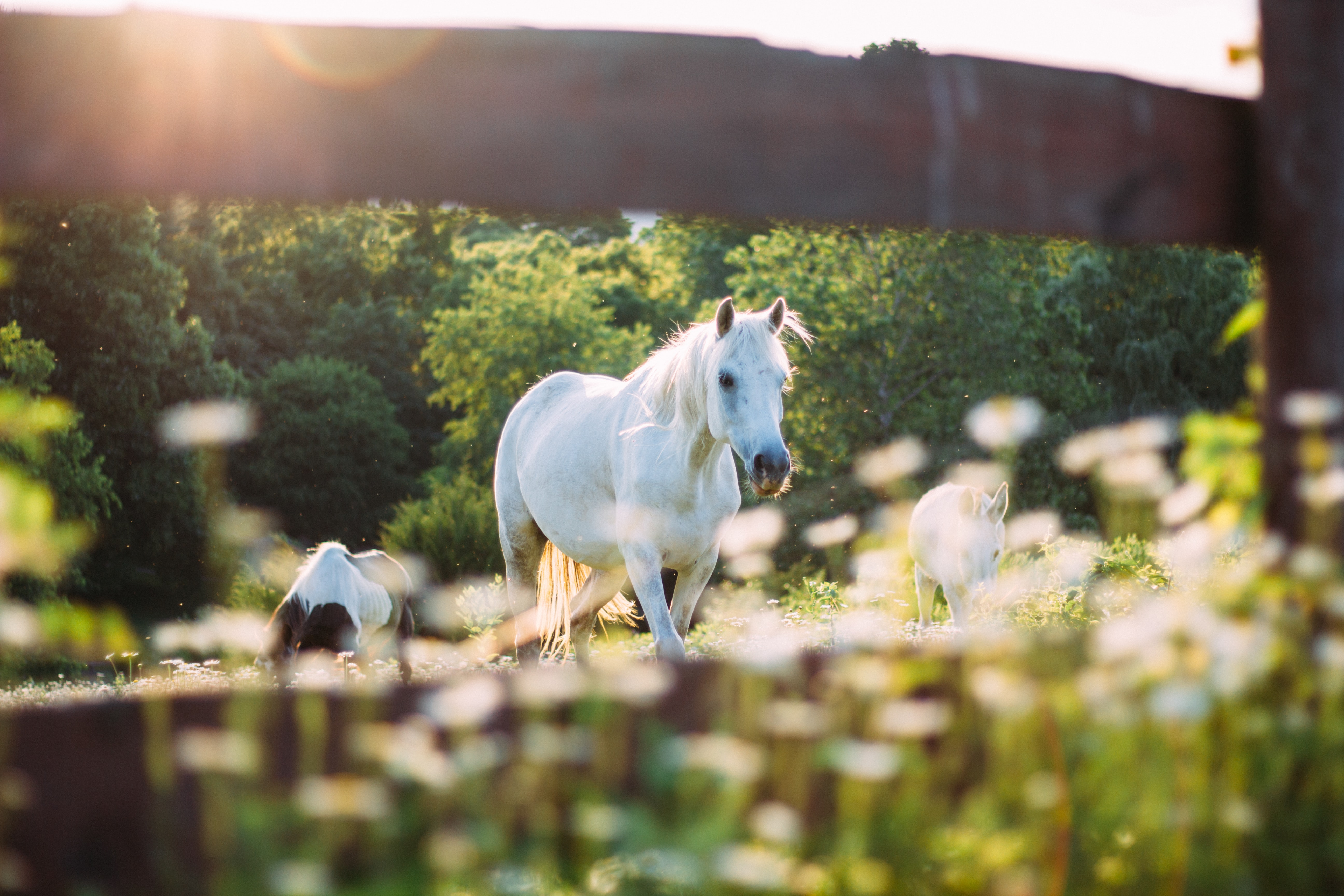 A white horse and two foals seen through a wooden fence