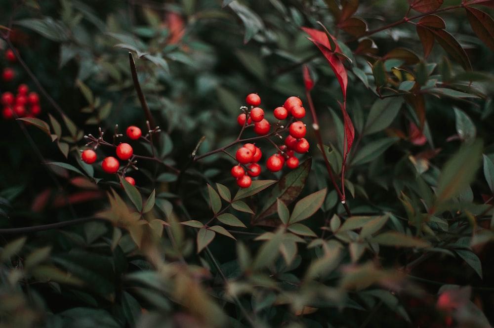 closeup photo of red cherries