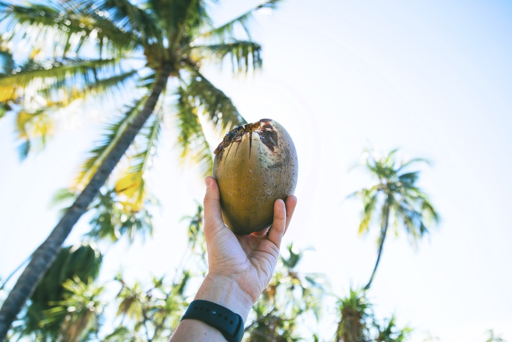 person holding up coconut fruit