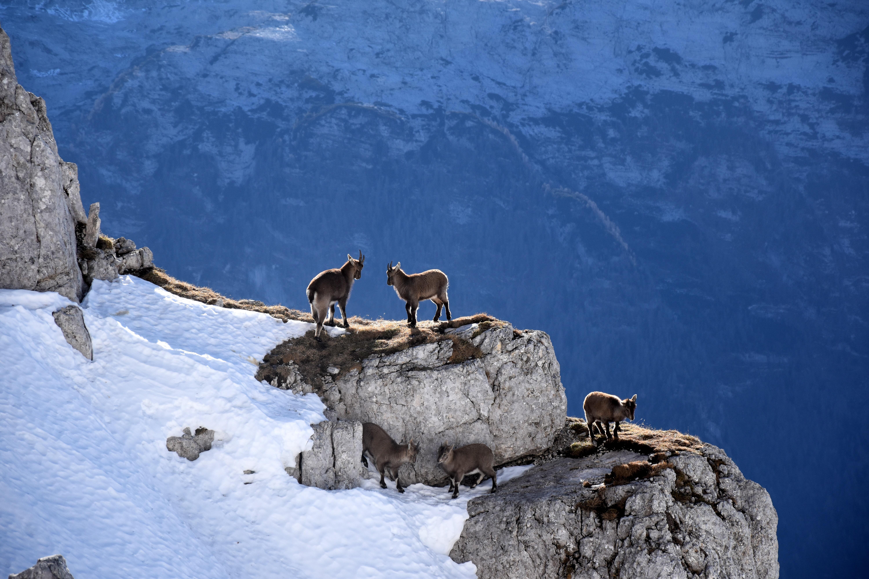 wildlife photography of mountain goats