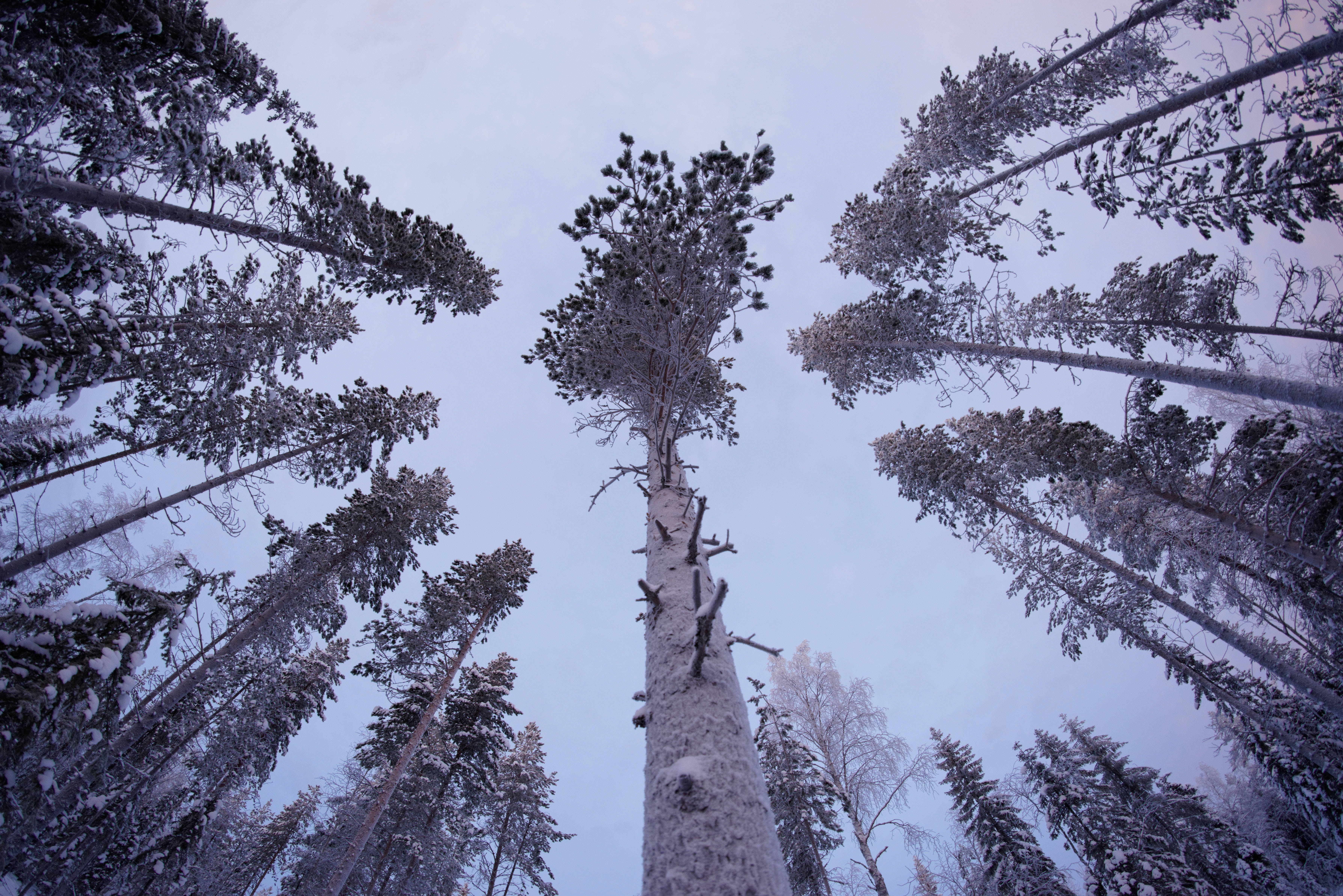 A low-angle shot of tall snow-covered pines in Lapland