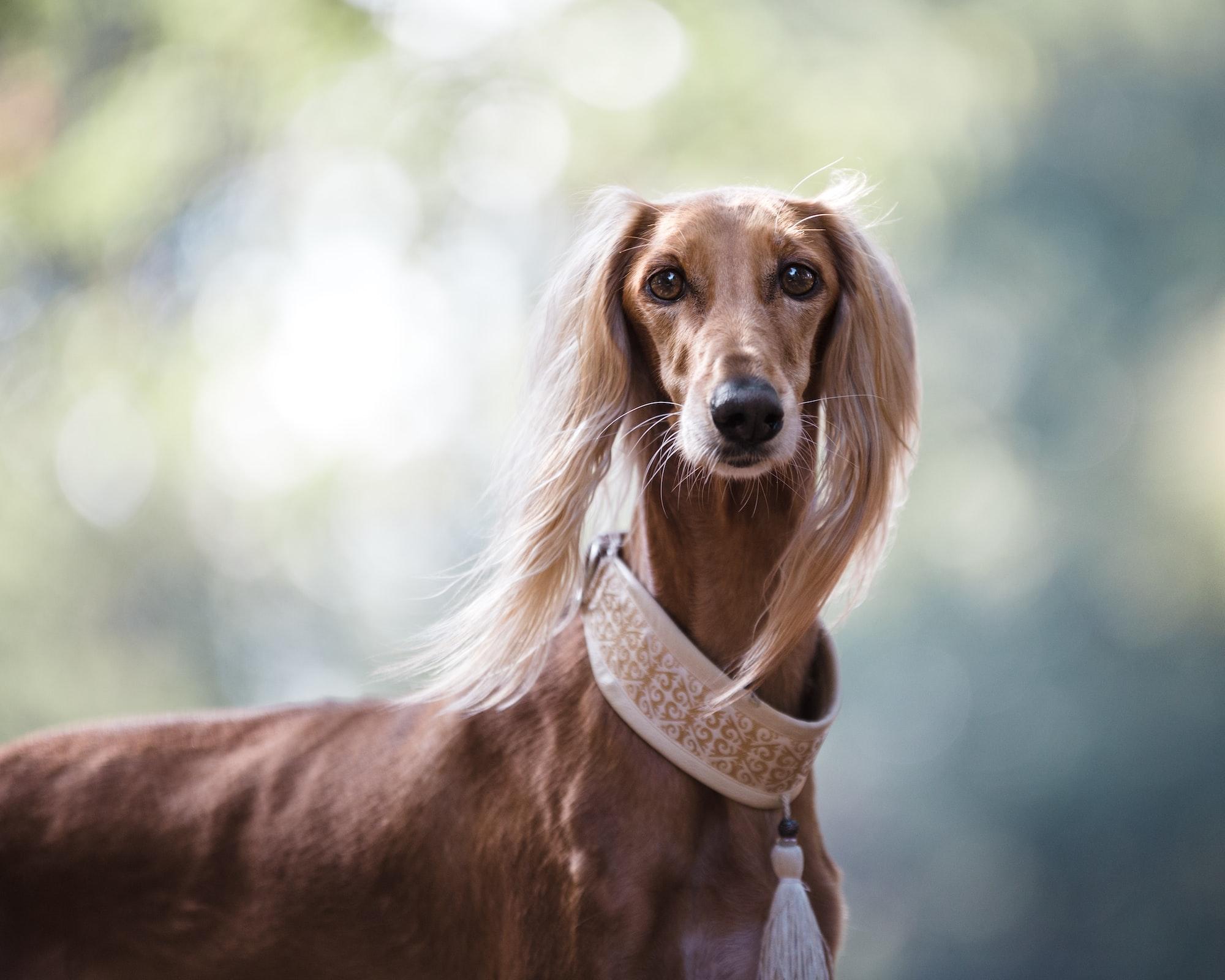 In quali gruppi di razze sono suddivisi i cani?