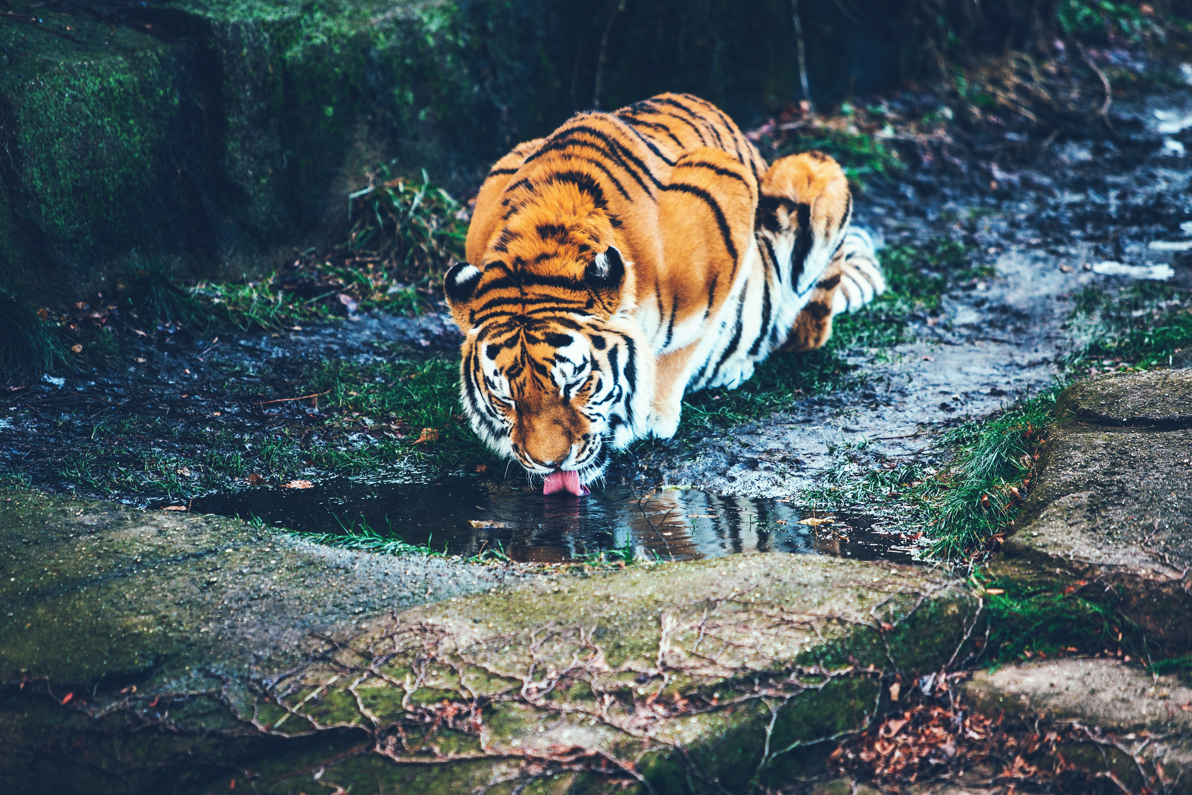 A tiger drinking from a puddle