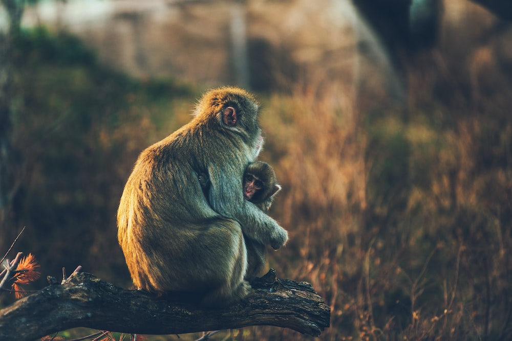A monkey sitting on a branch above grass, holding her child in an embrace