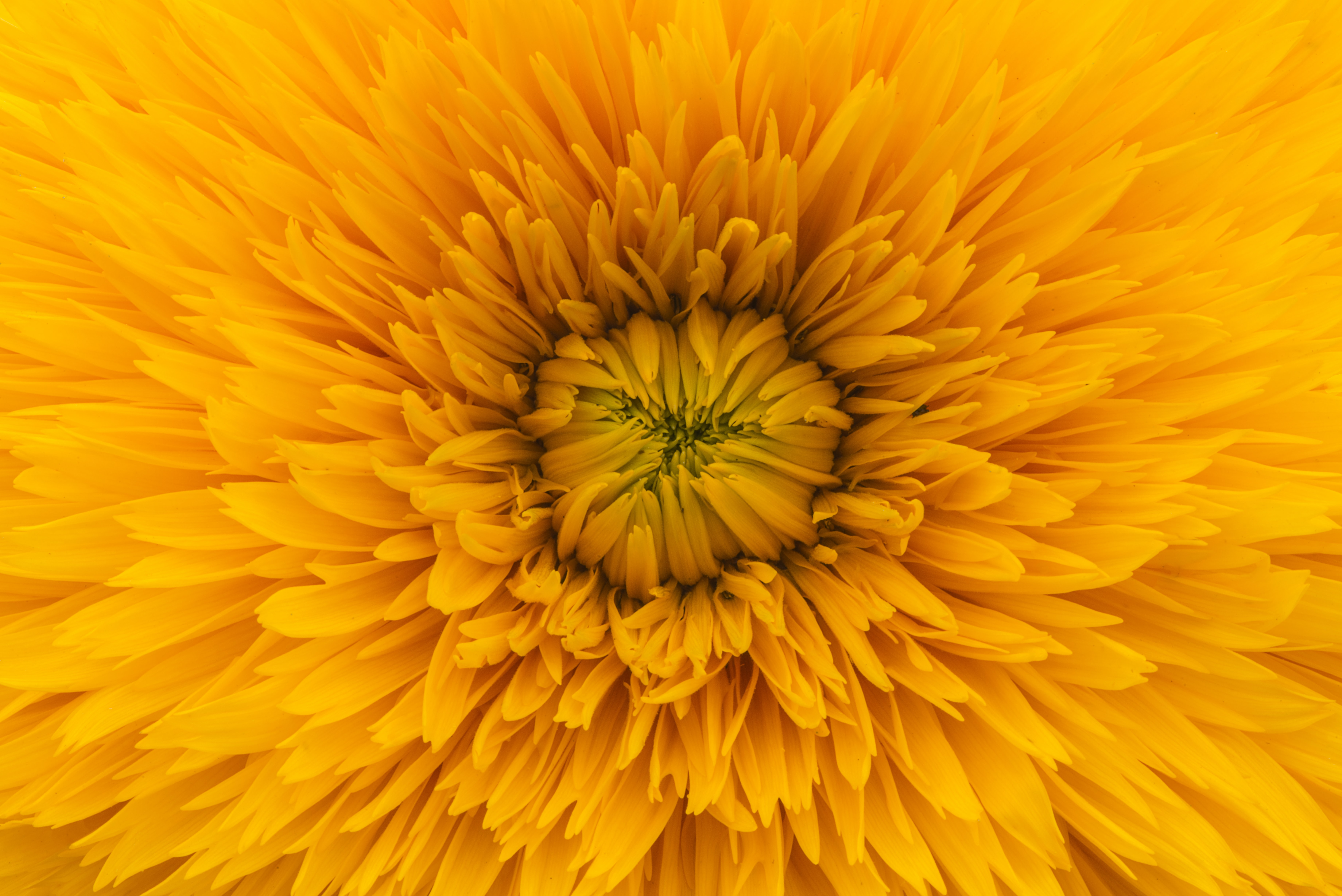 A macro shot of the golden center of a flower with numerous yellow petals around