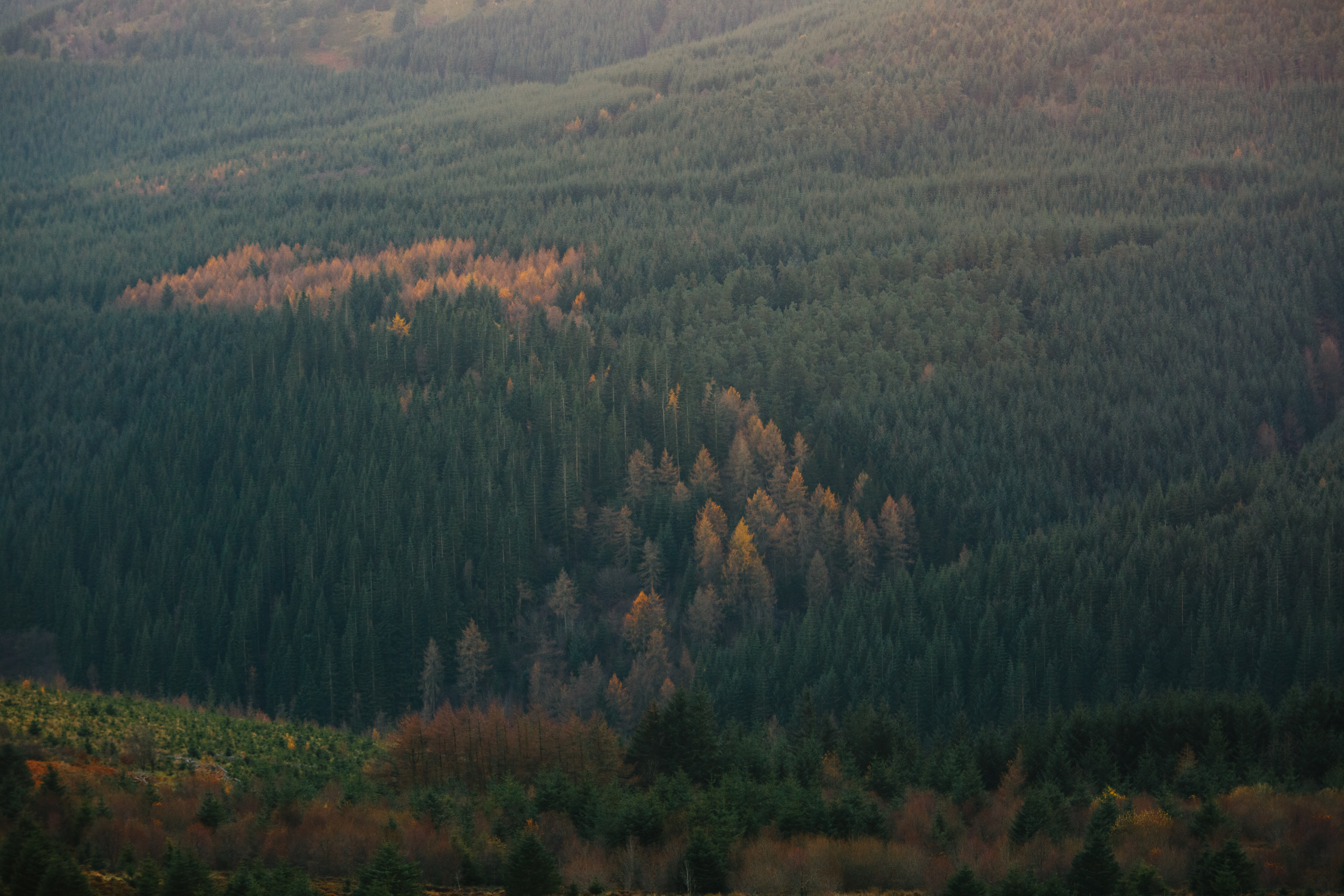 A drone shot of a green coniferous forest with patches of brown trees