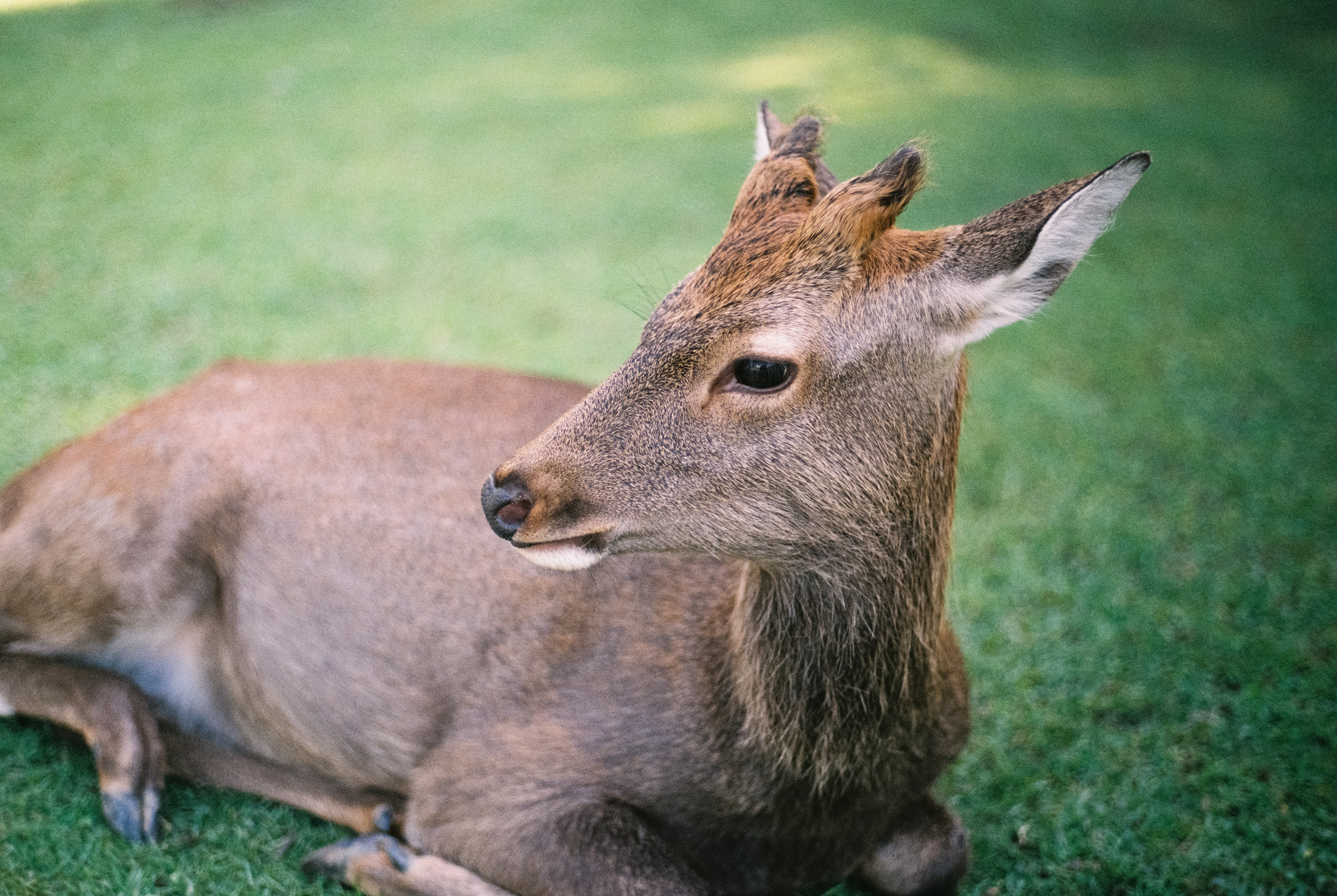deer lying on lawn during daytime