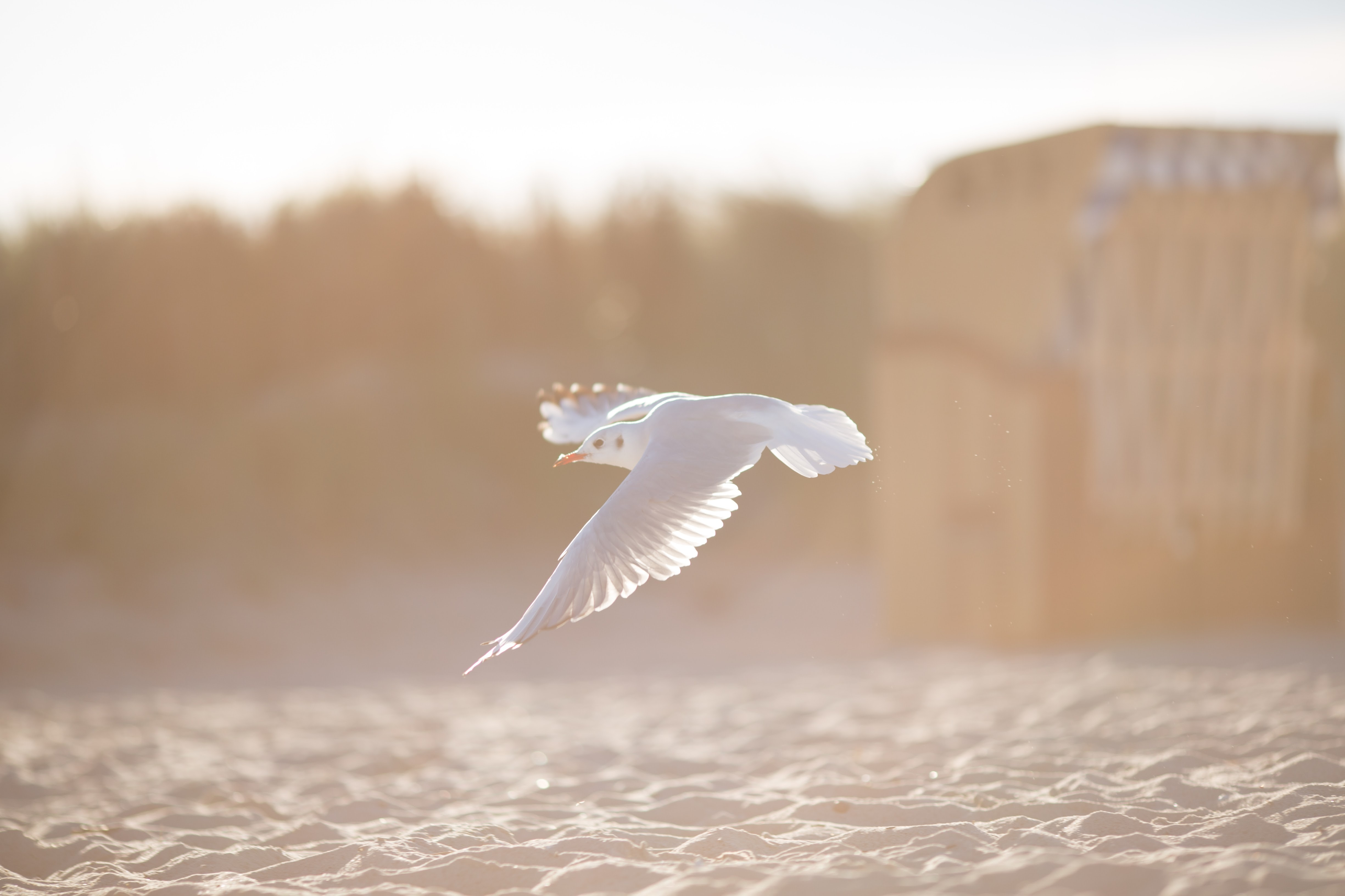 White sunlit seagull flying above the water at Schönberger Strand