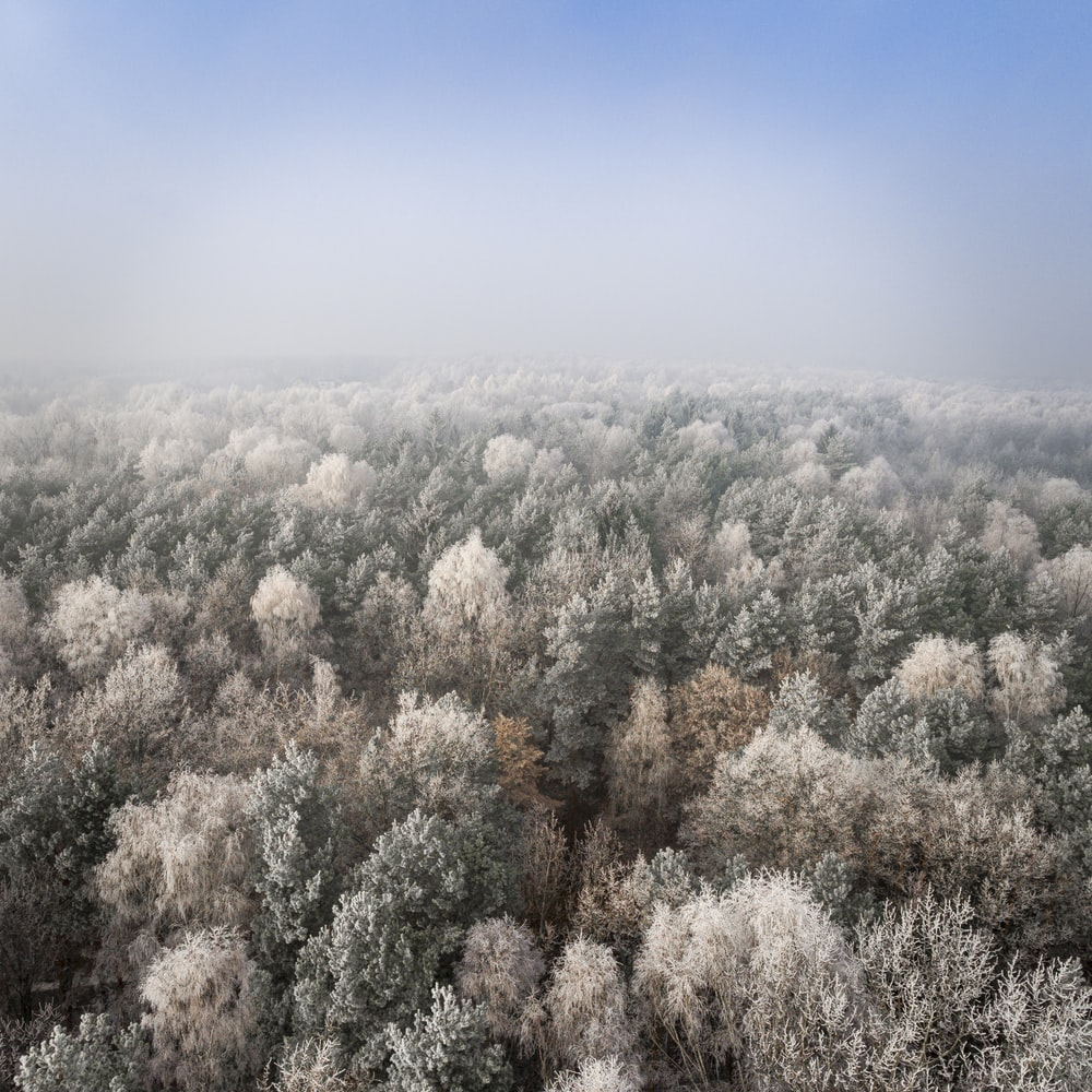 green pine trees covered with fog
