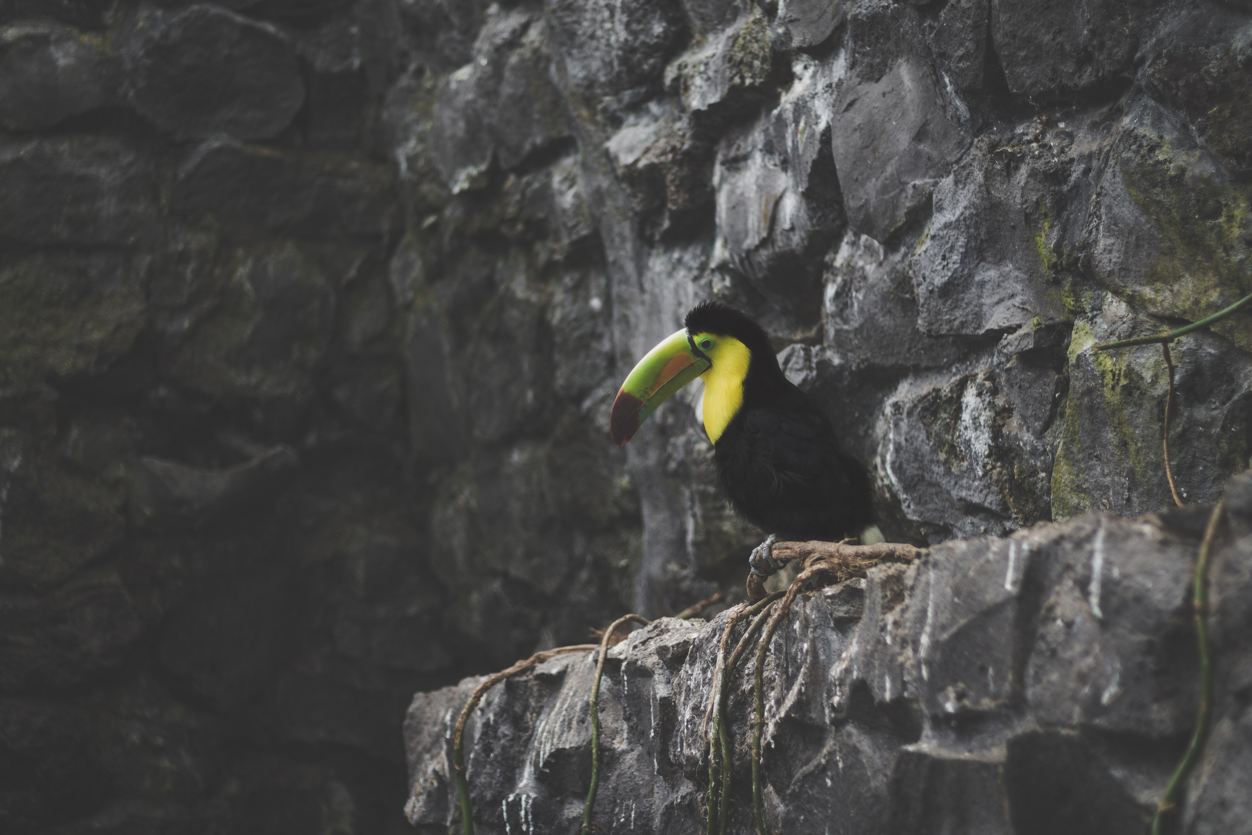 Wild Toucan perched on a rocky cliff