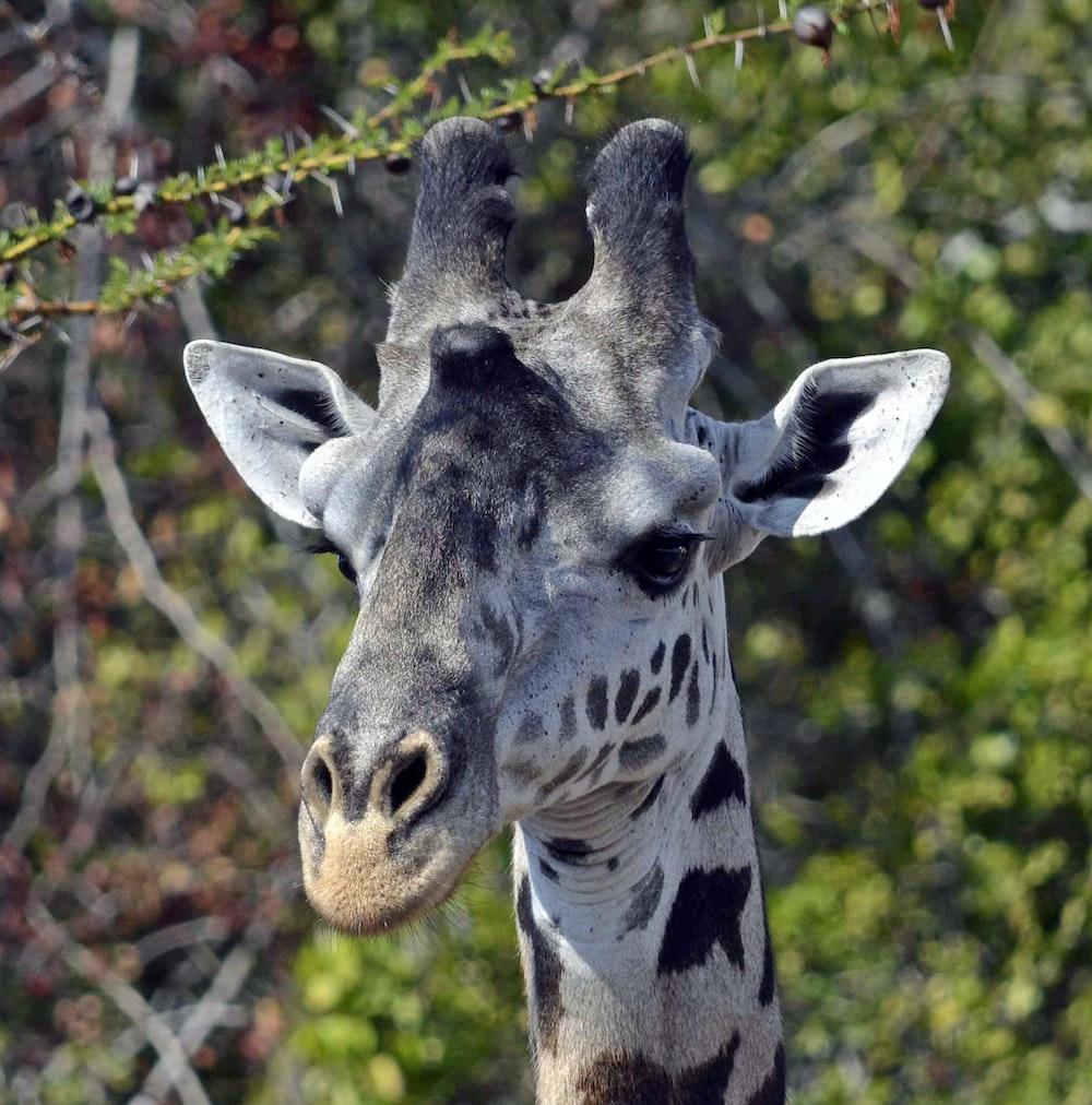 white and black giraffe