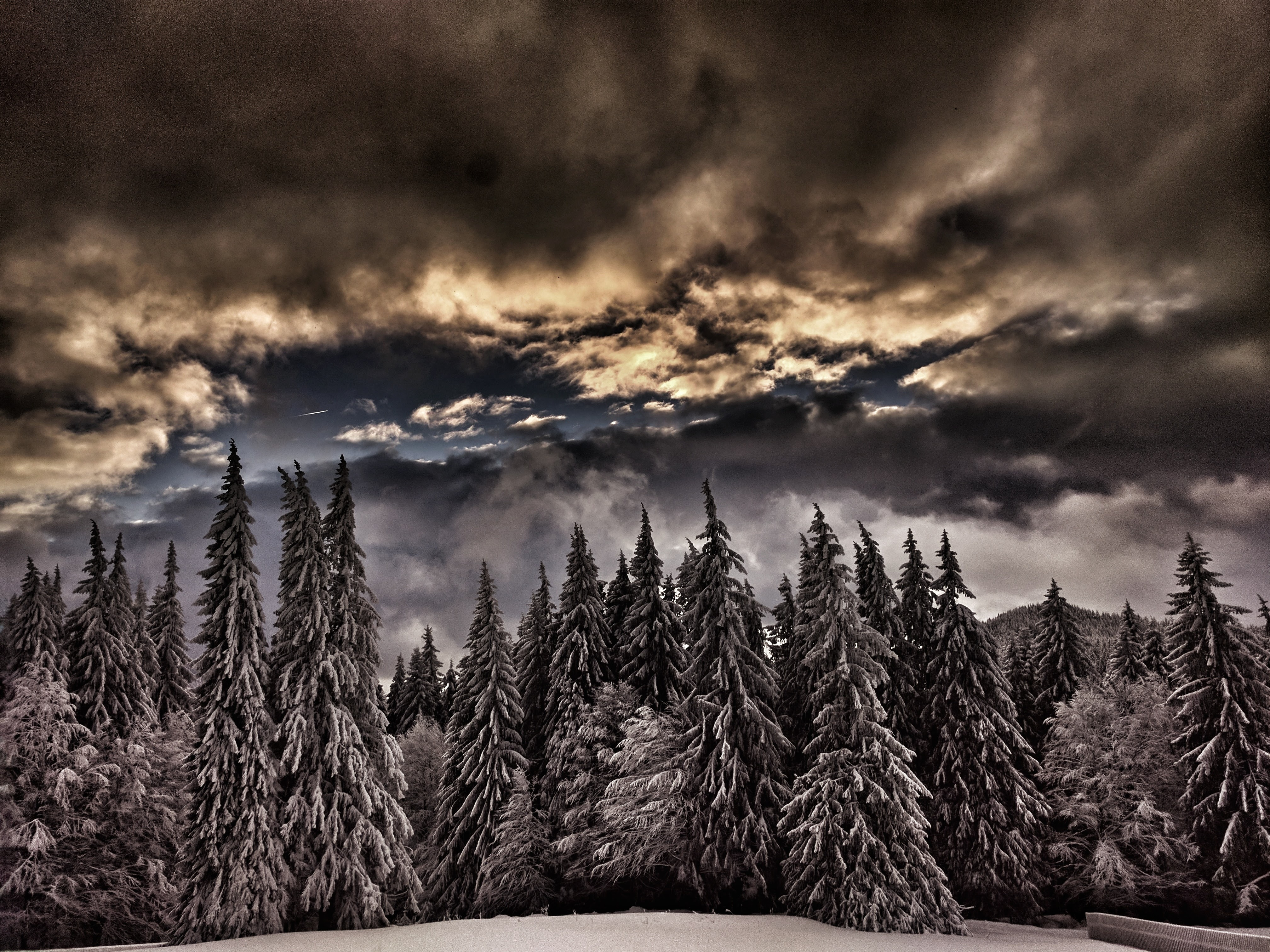 A stretch of snow-covered evergreen trees on a cloudy day in Predeal