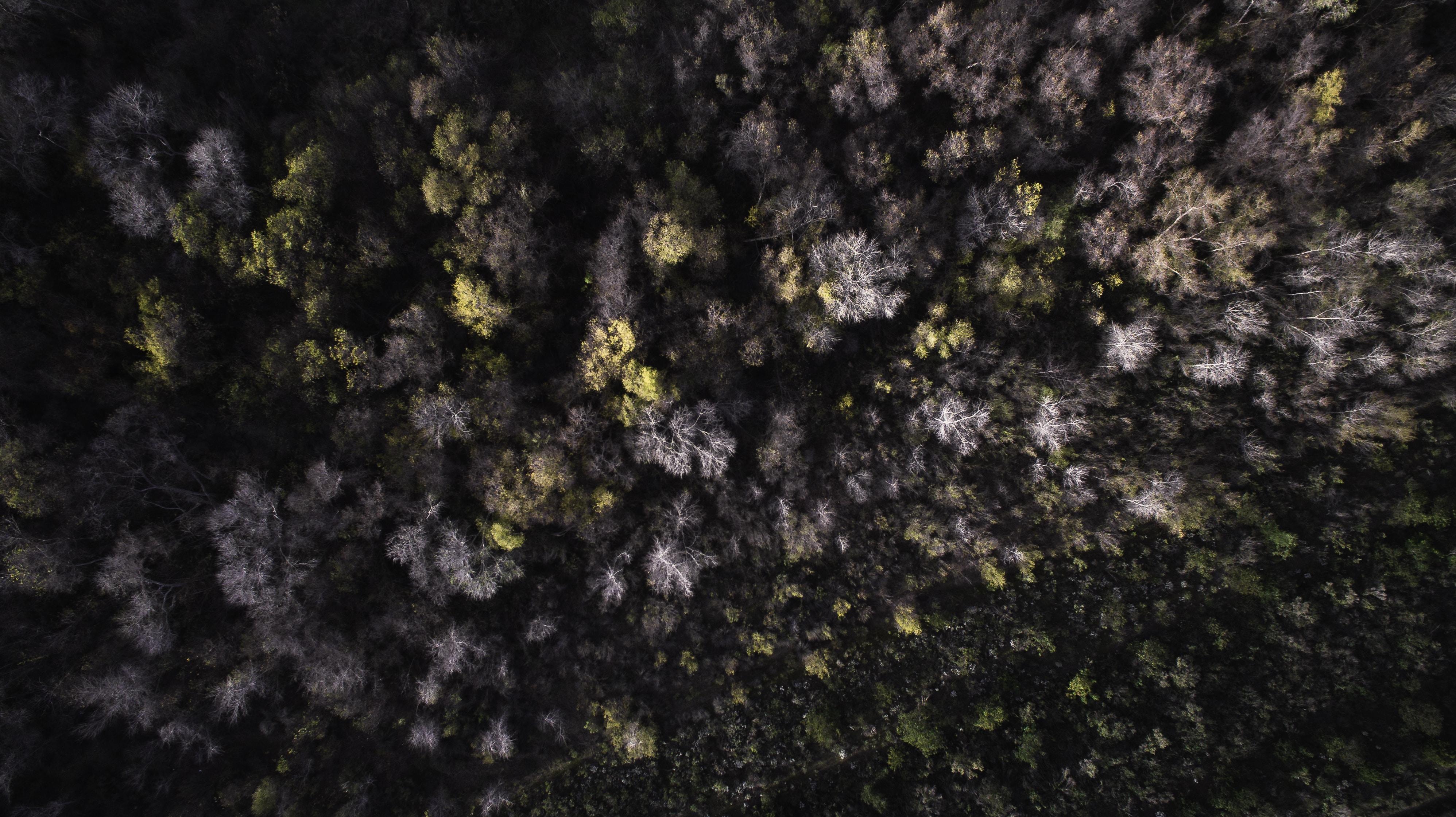 A drone shot of a stretch of dead trees in Vista, California