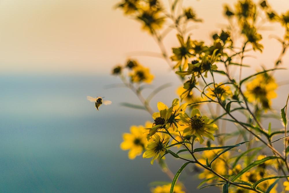 brown bee flying near yellow petaled flower