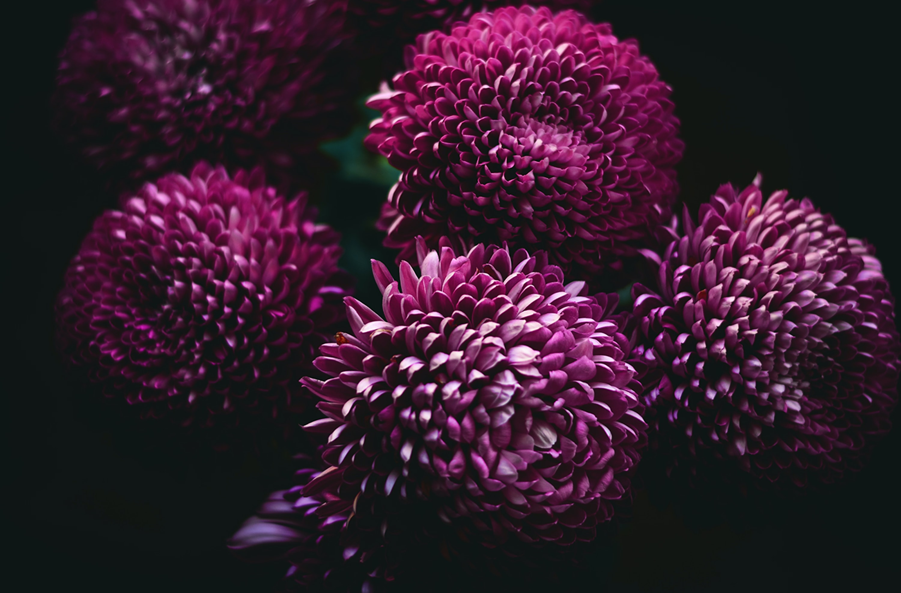 Purple chrysanthemum flowers in full bloom against a black background