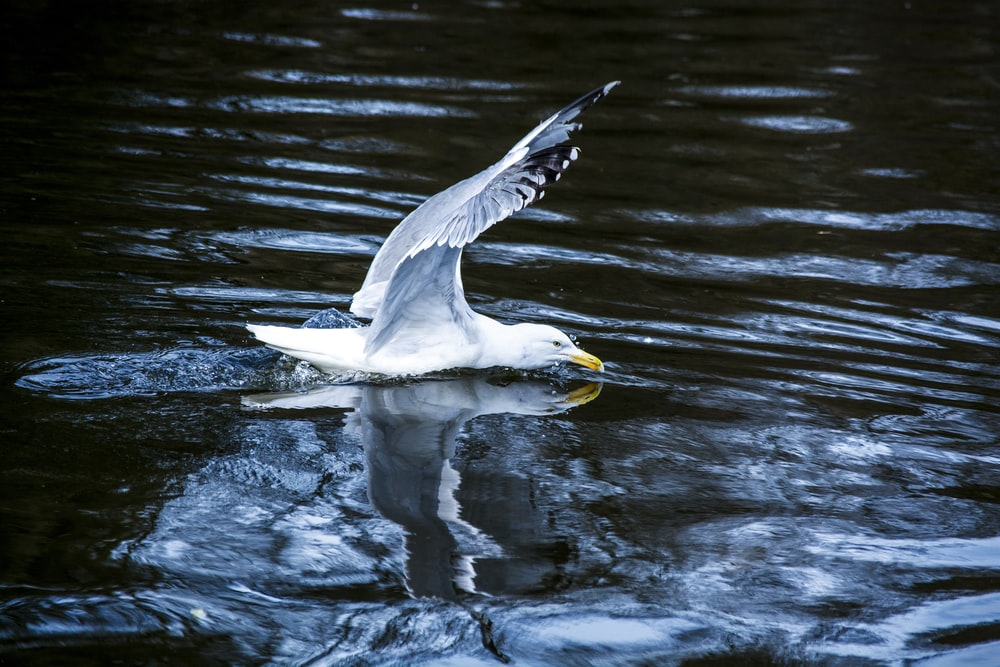 white seagull flying above body of water