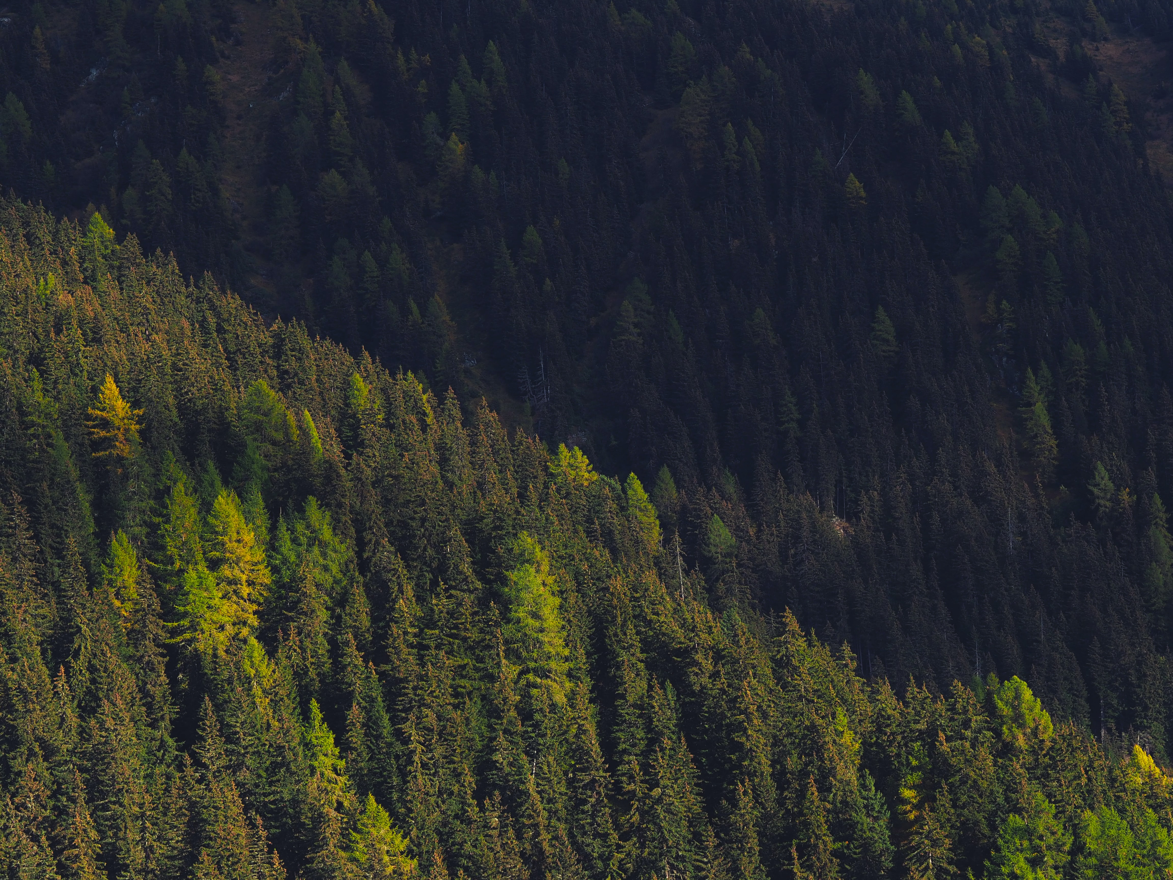 A green coniferous forest on a slope in Verbier