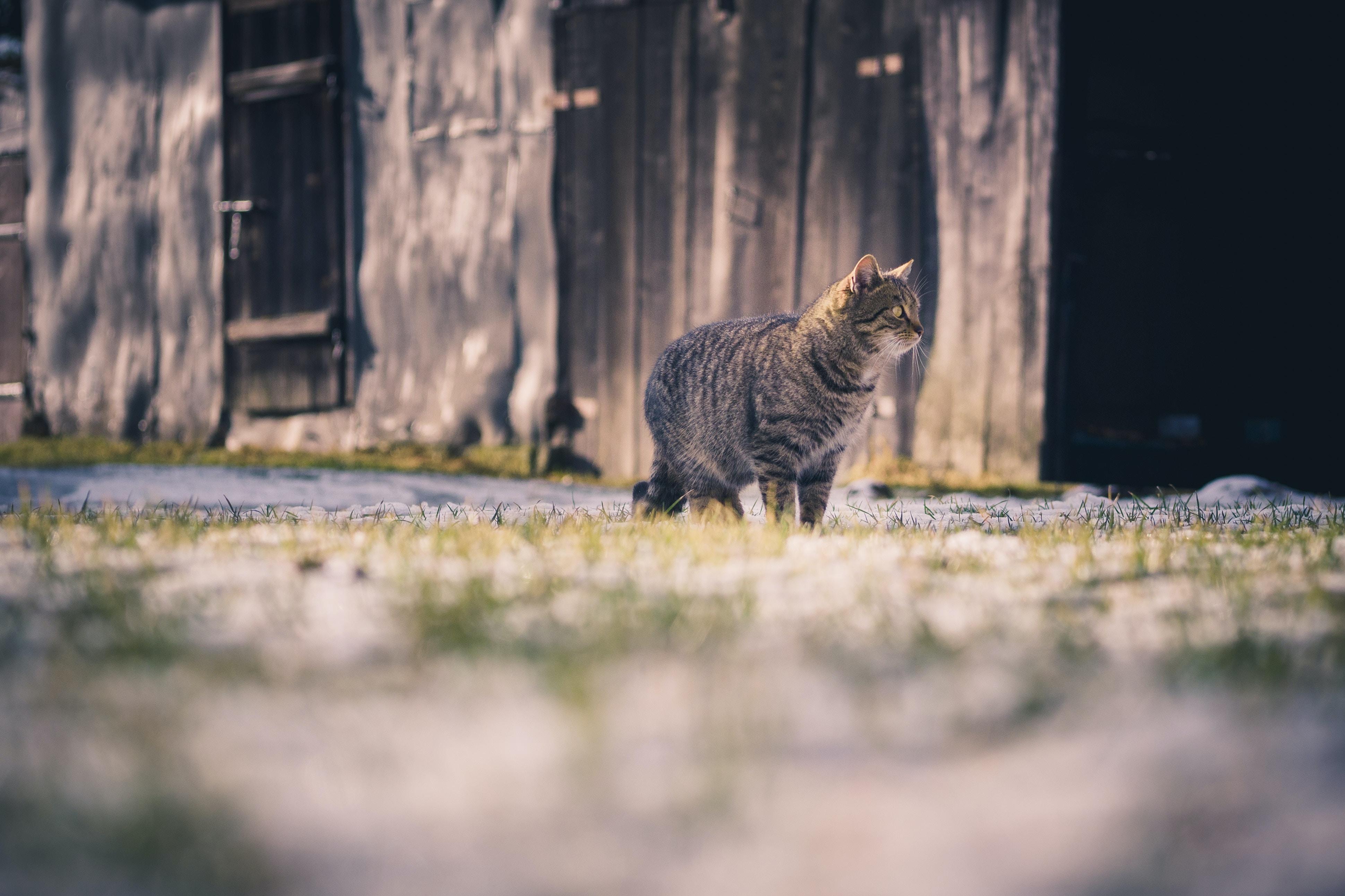 Cat prowls through a wintery field