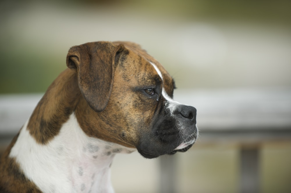 shallow focus photography of adult brindle and white boxer