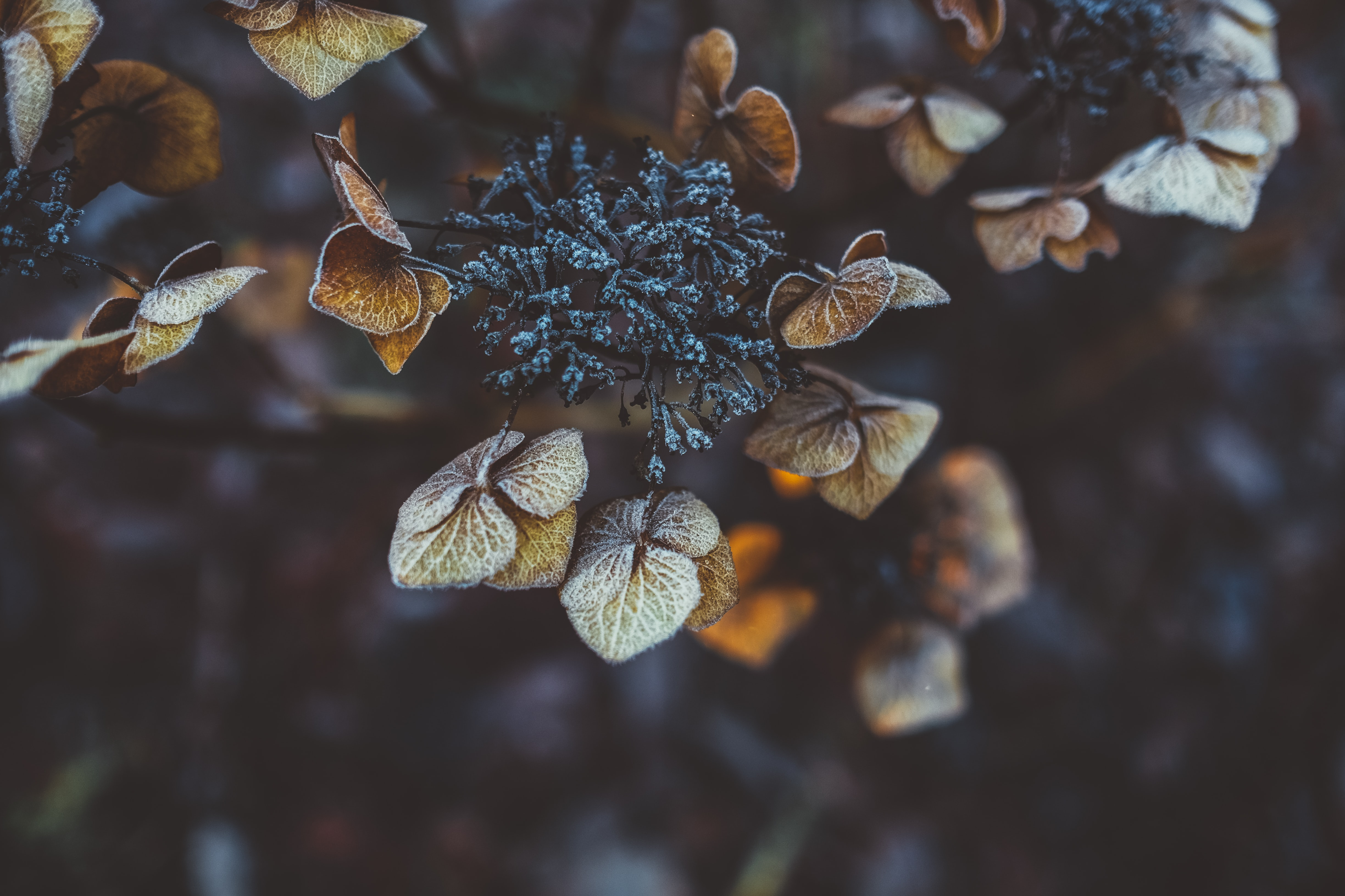 Close-up of frosty hydrangea buds and brown autumn leaves
