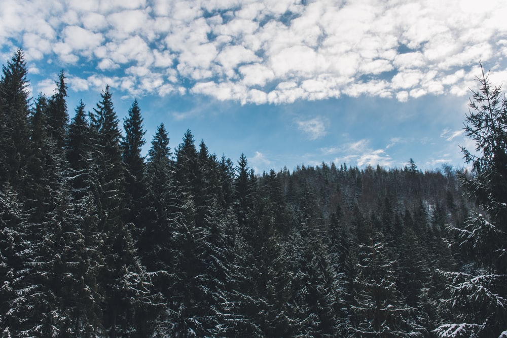 green pine trees under white cloudy sky at daytime