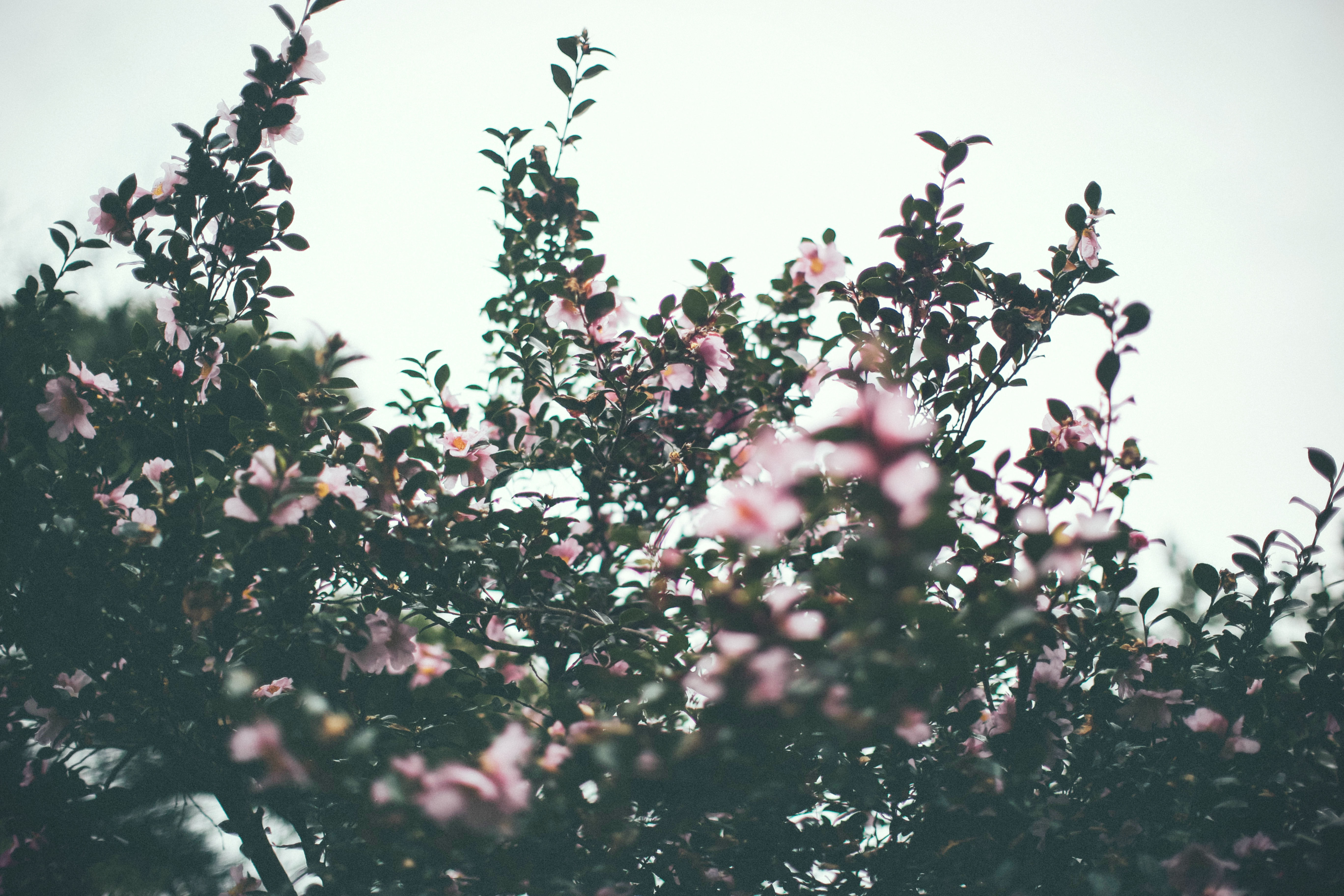 A low-angle shot of a bush covered in pink flowers