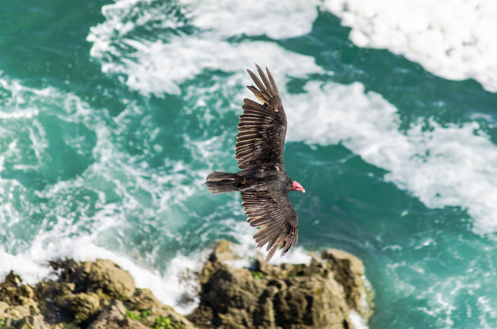 aerial photography of vulture flying on top of rock formation beside sea at daytime