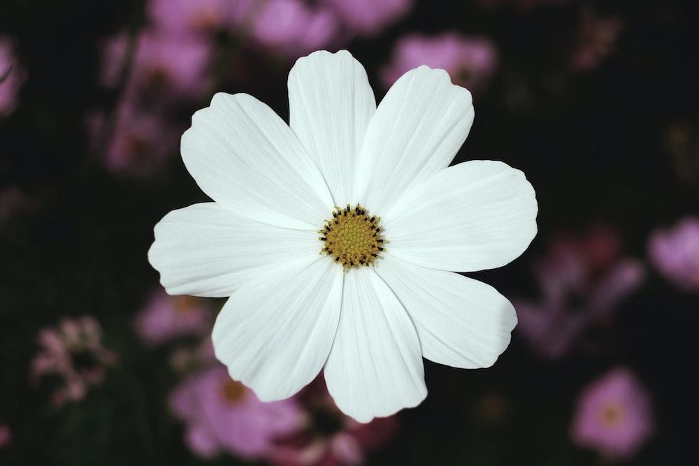 white broad petaled flower
