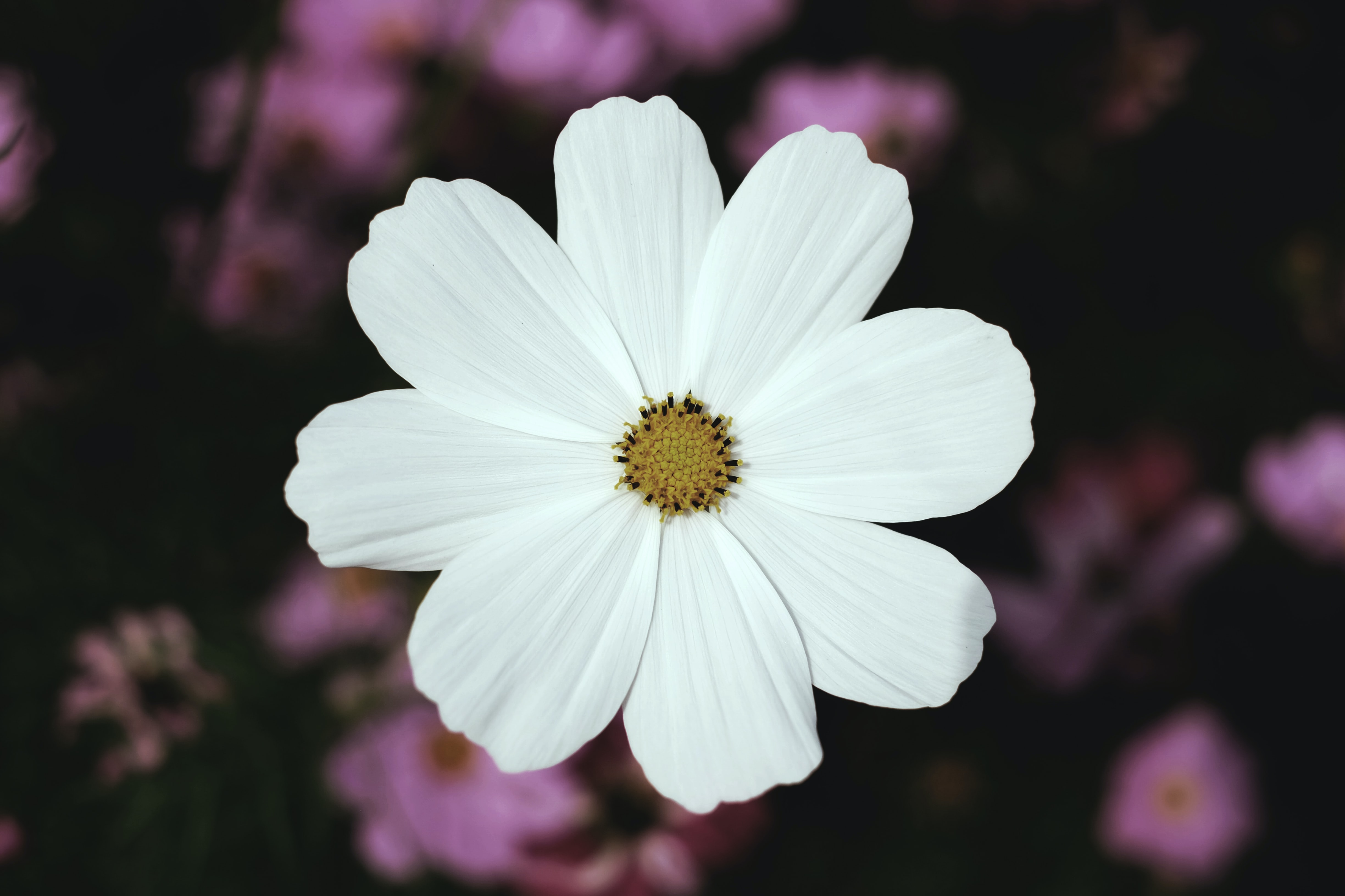 An overhead shot of a white cosmos flower