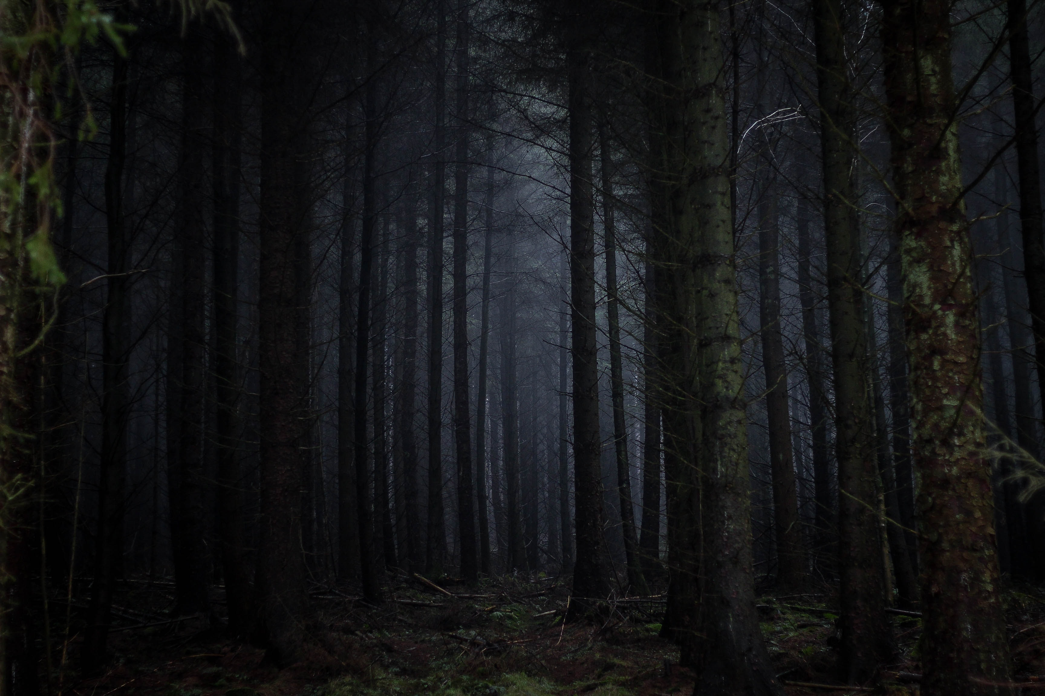 A dark coniferous forest