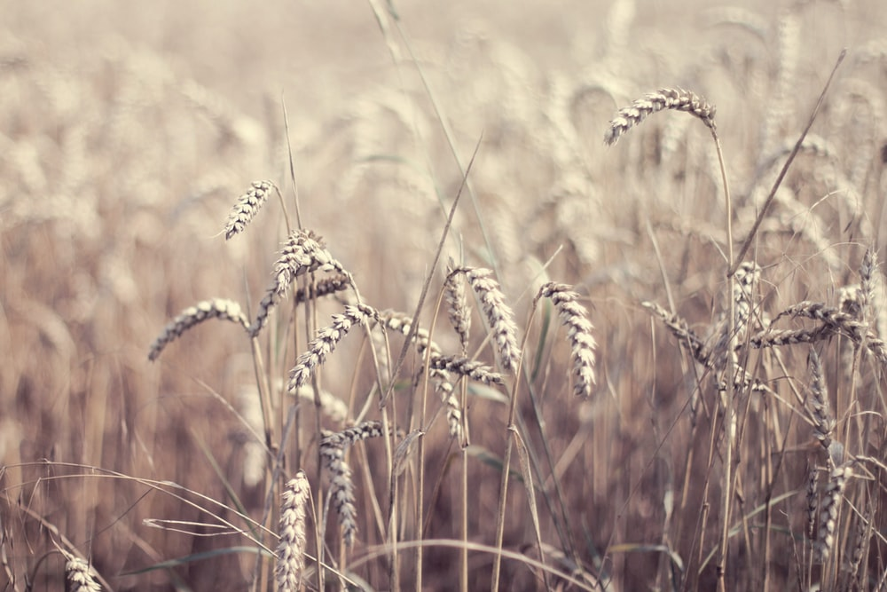 Wheat Crop Pictures | Download Free Images on Unsplash
